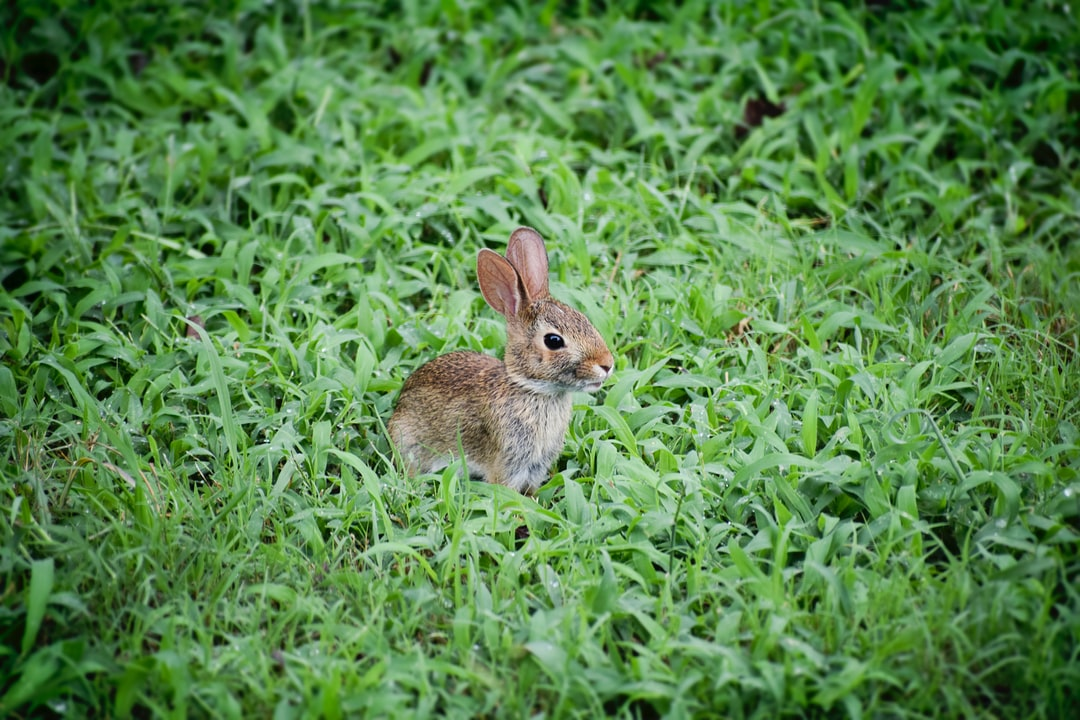 Baby Bunny Playing in the Grass