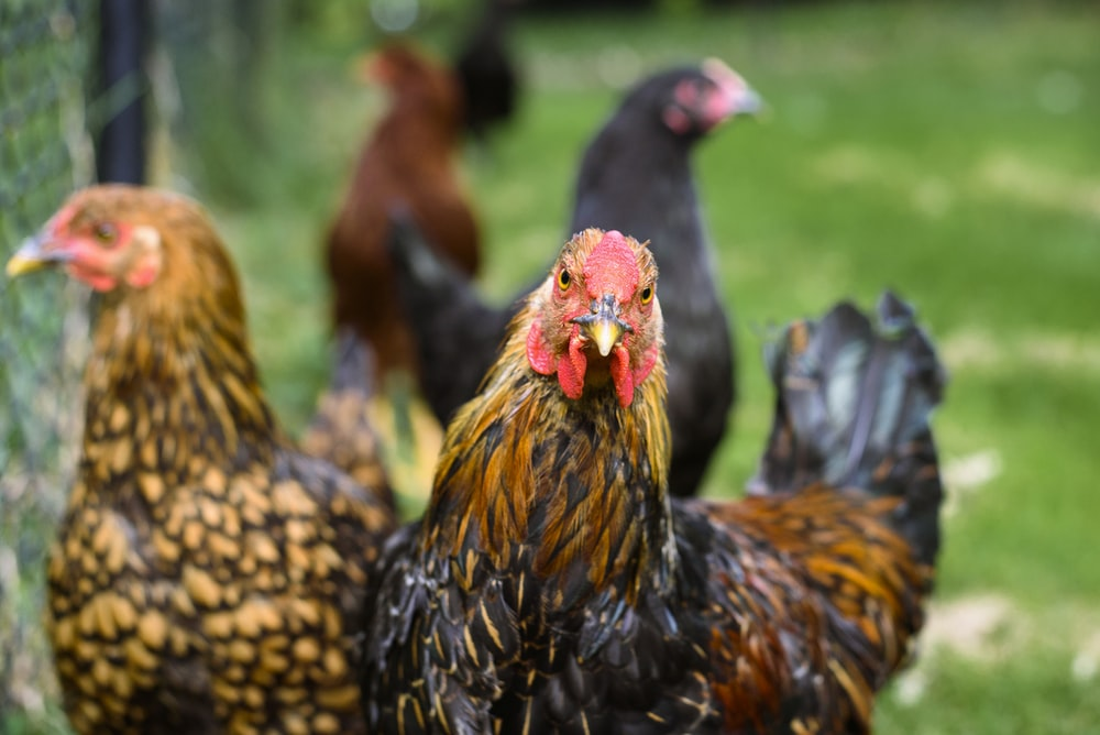 selective focus of two brown roosters at daytime