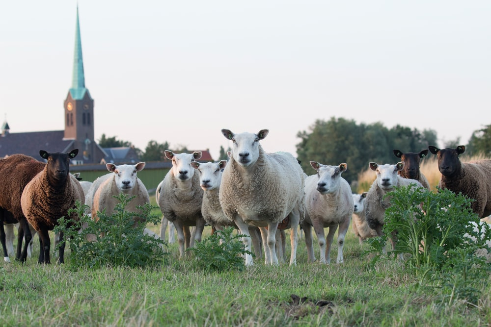 Flock of sheep stands in a field near a chapel