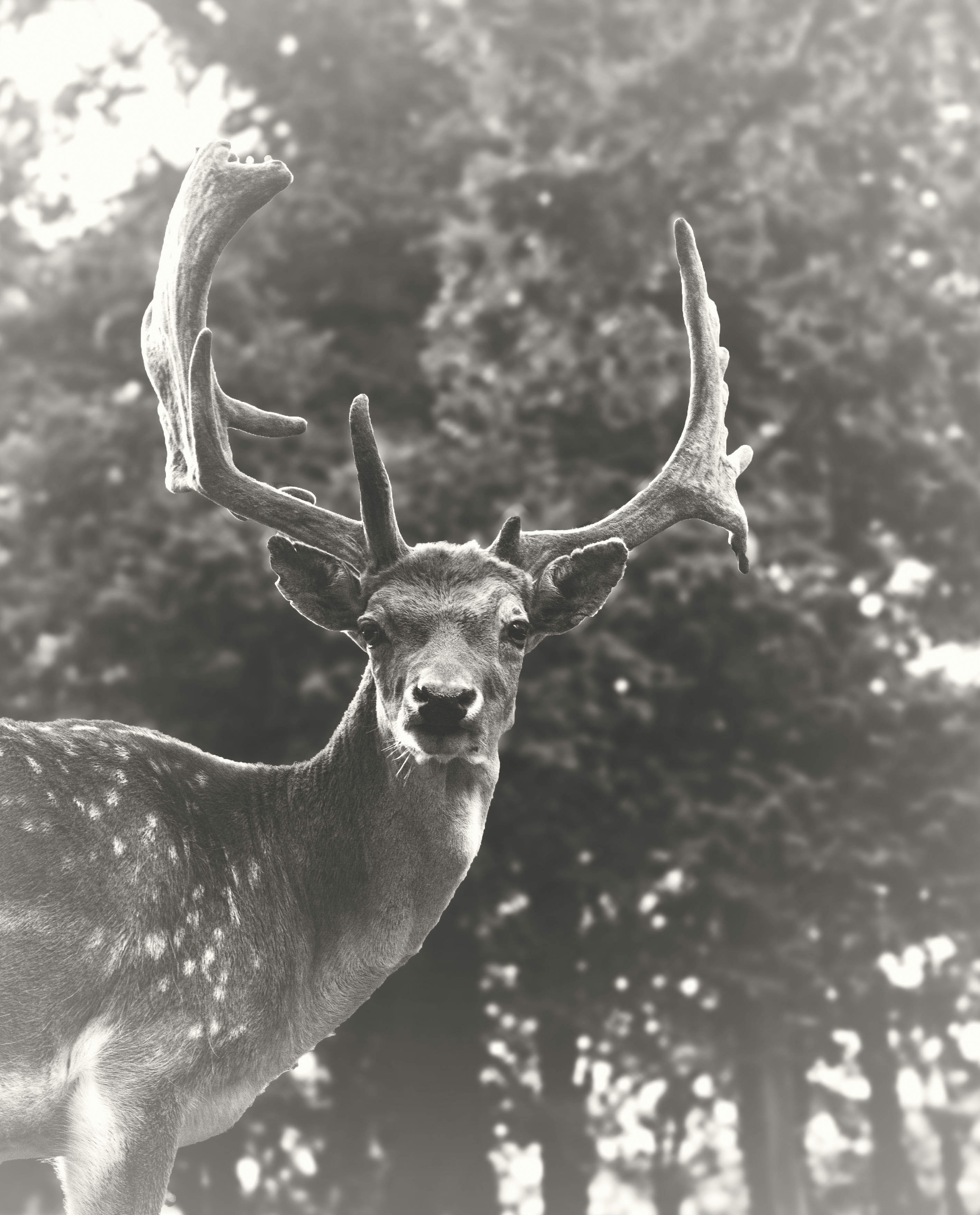 grayscale photography of moose
