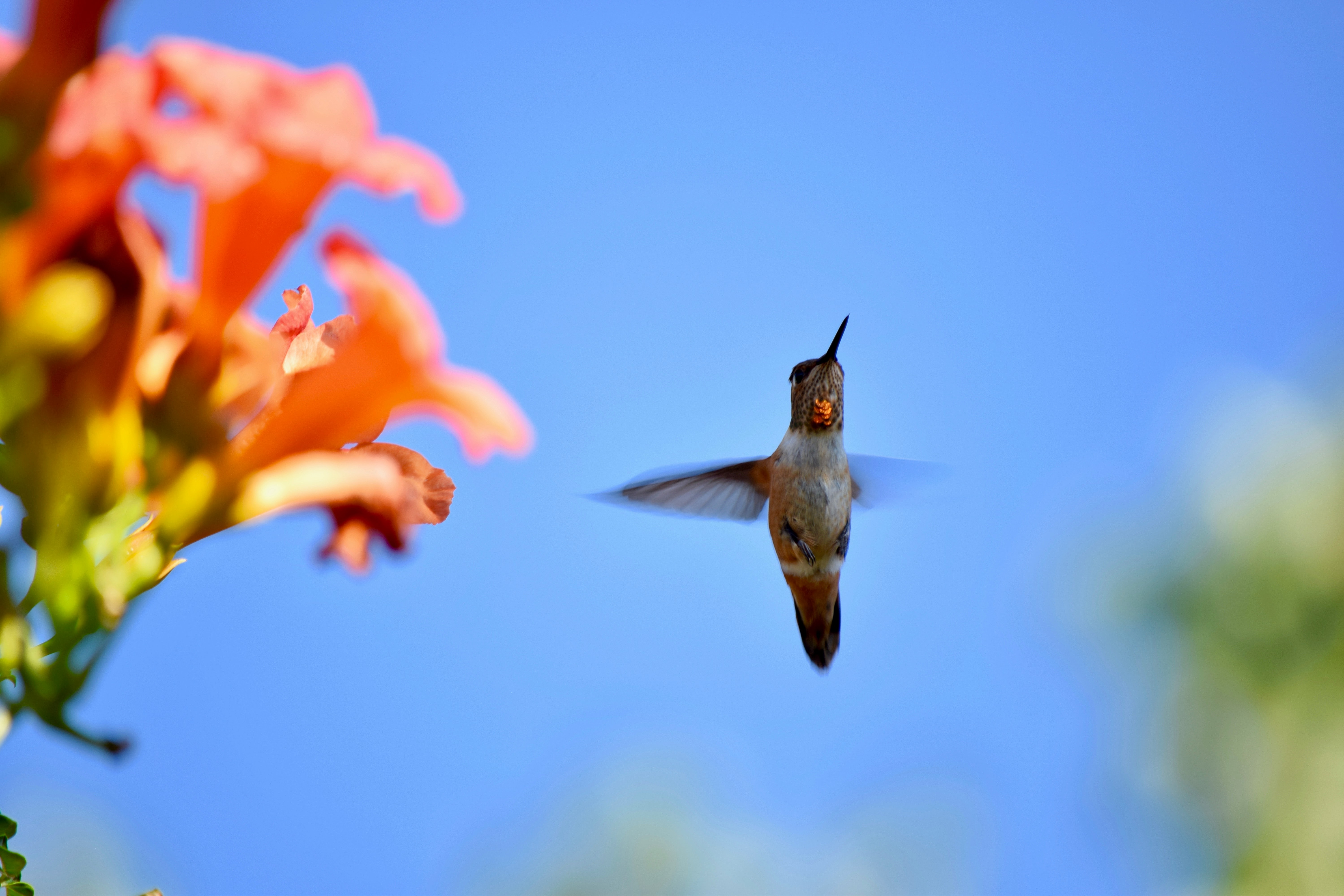 gray hummingbird beside orange trumpet creeper flowers