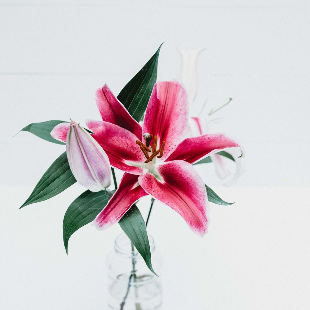 100 lily pictures download free images on unsplash tropical pink and white flowers and leaves in a jar on a white table izmirmasajfo