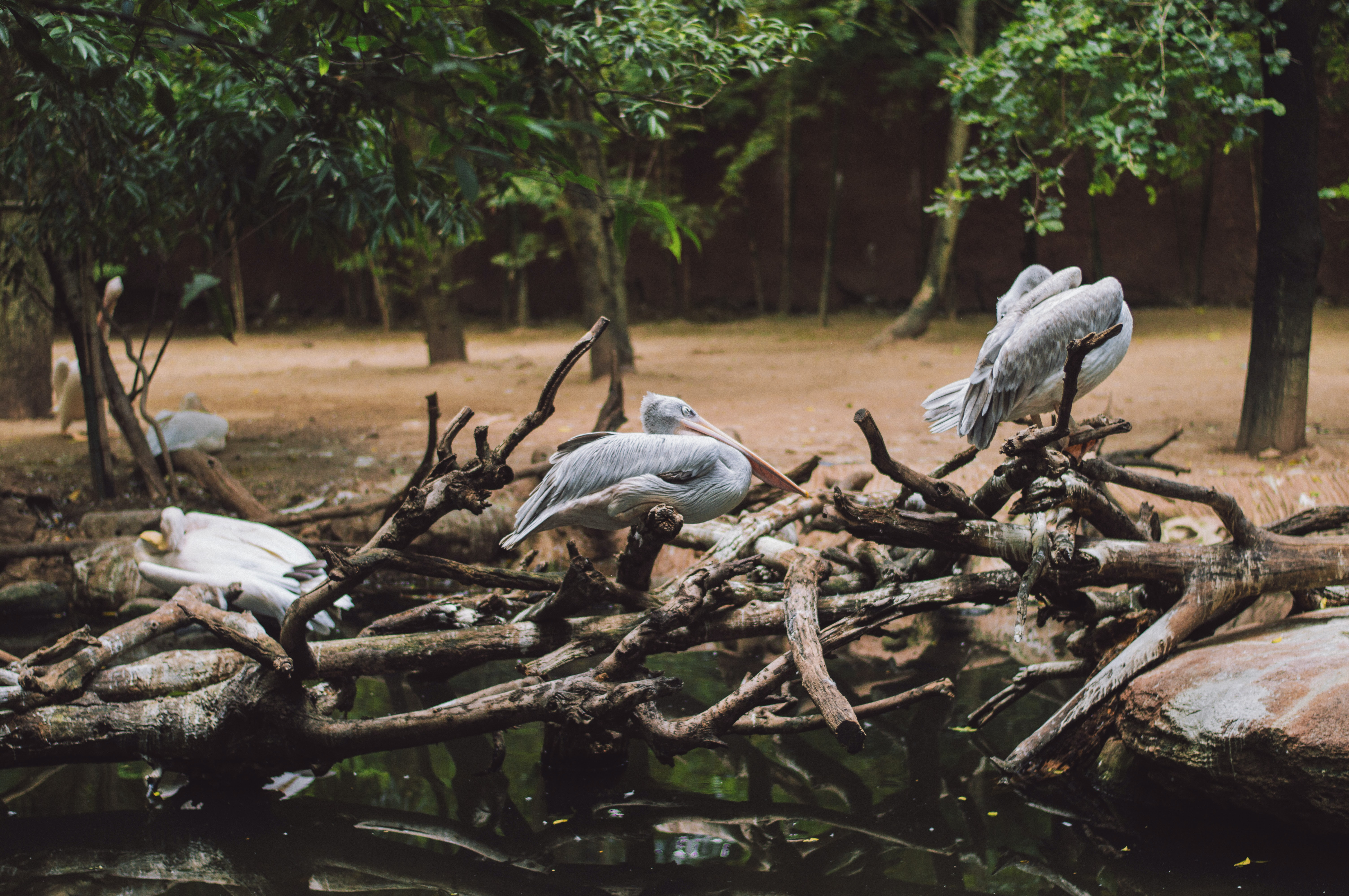 three pelican standing on tree logs over body of water