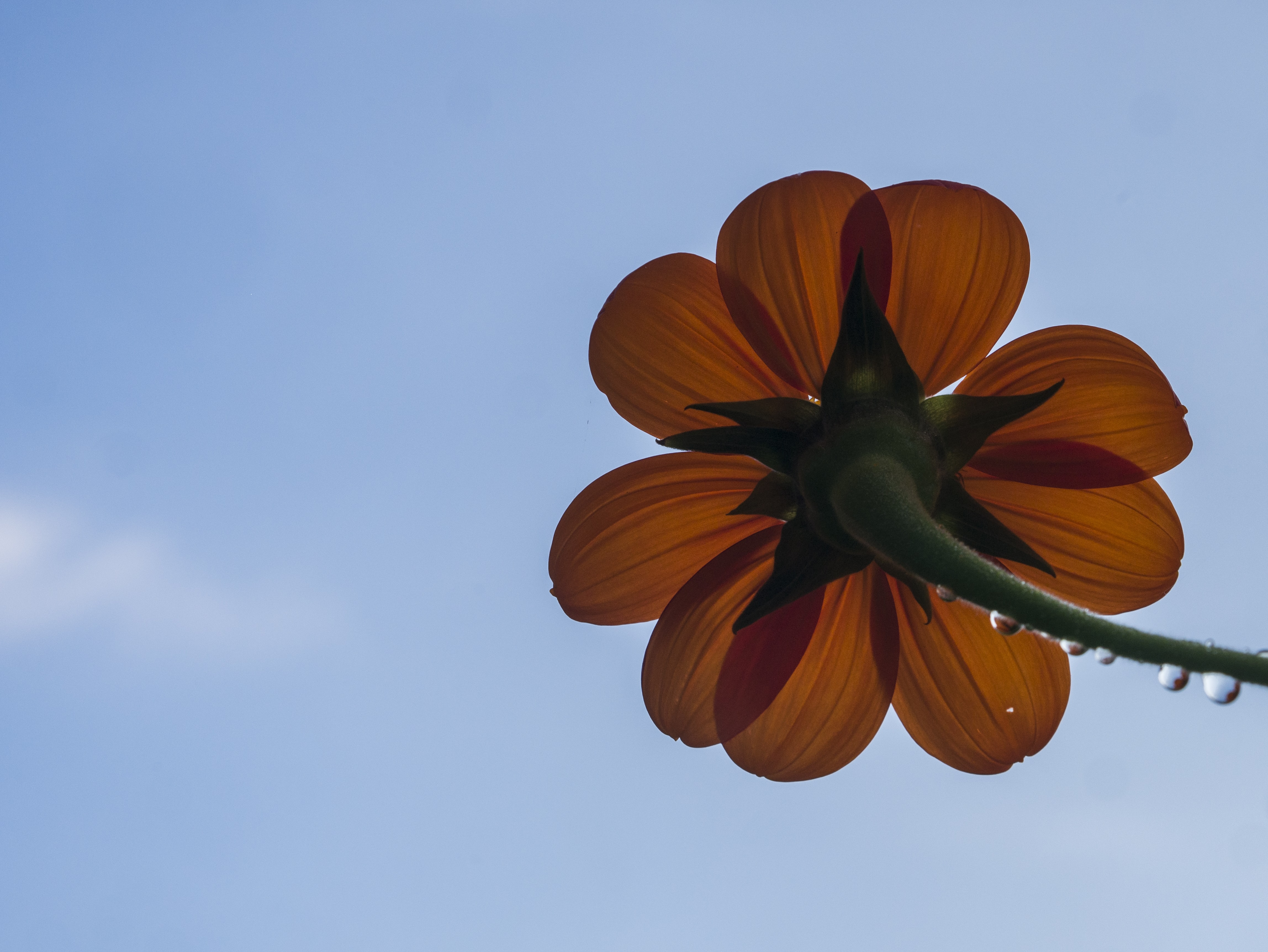 Looking up at an orange flower with water droplets on the stem