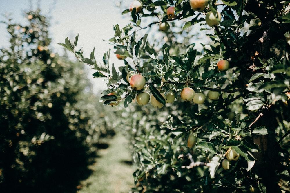 fruit tree field