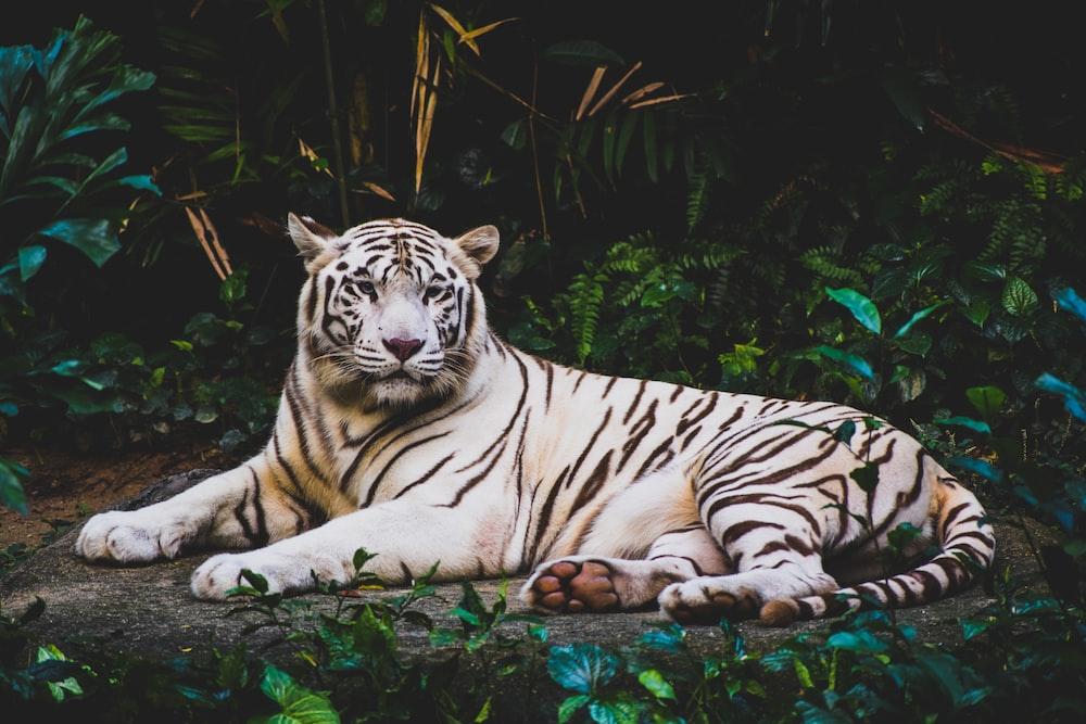 albino tiger lying on ground at nighttime