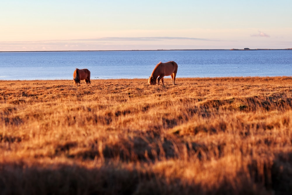 two brown horses in brown grass field near body of water at daytime