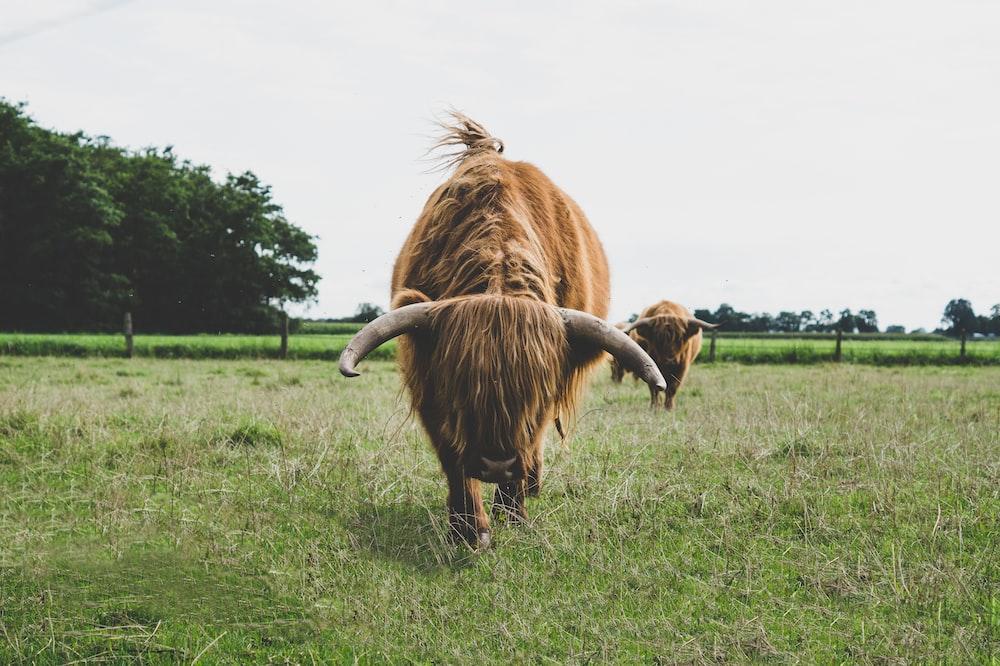 brown yak on green grassland