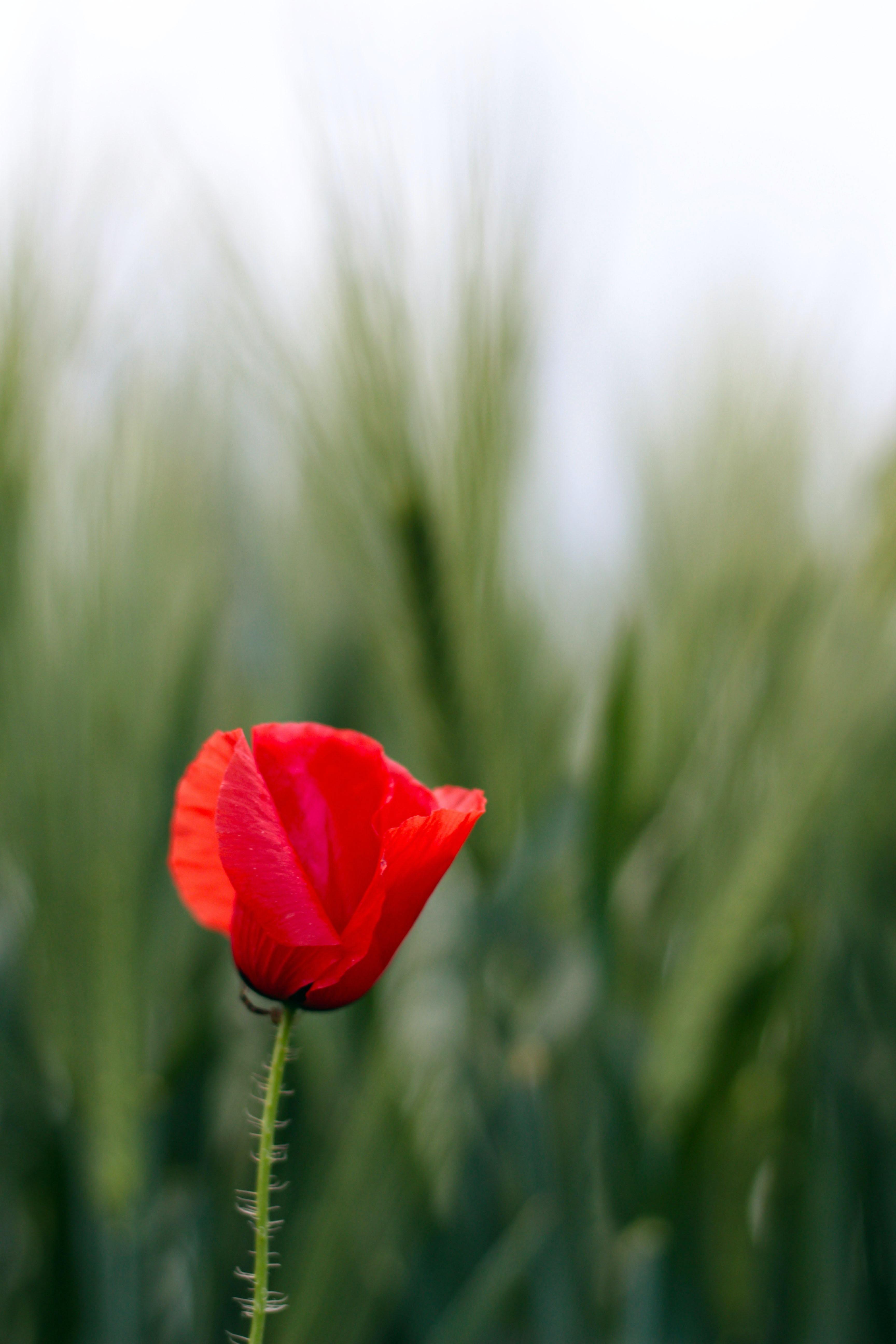 Single red tulip blooms near tall grass