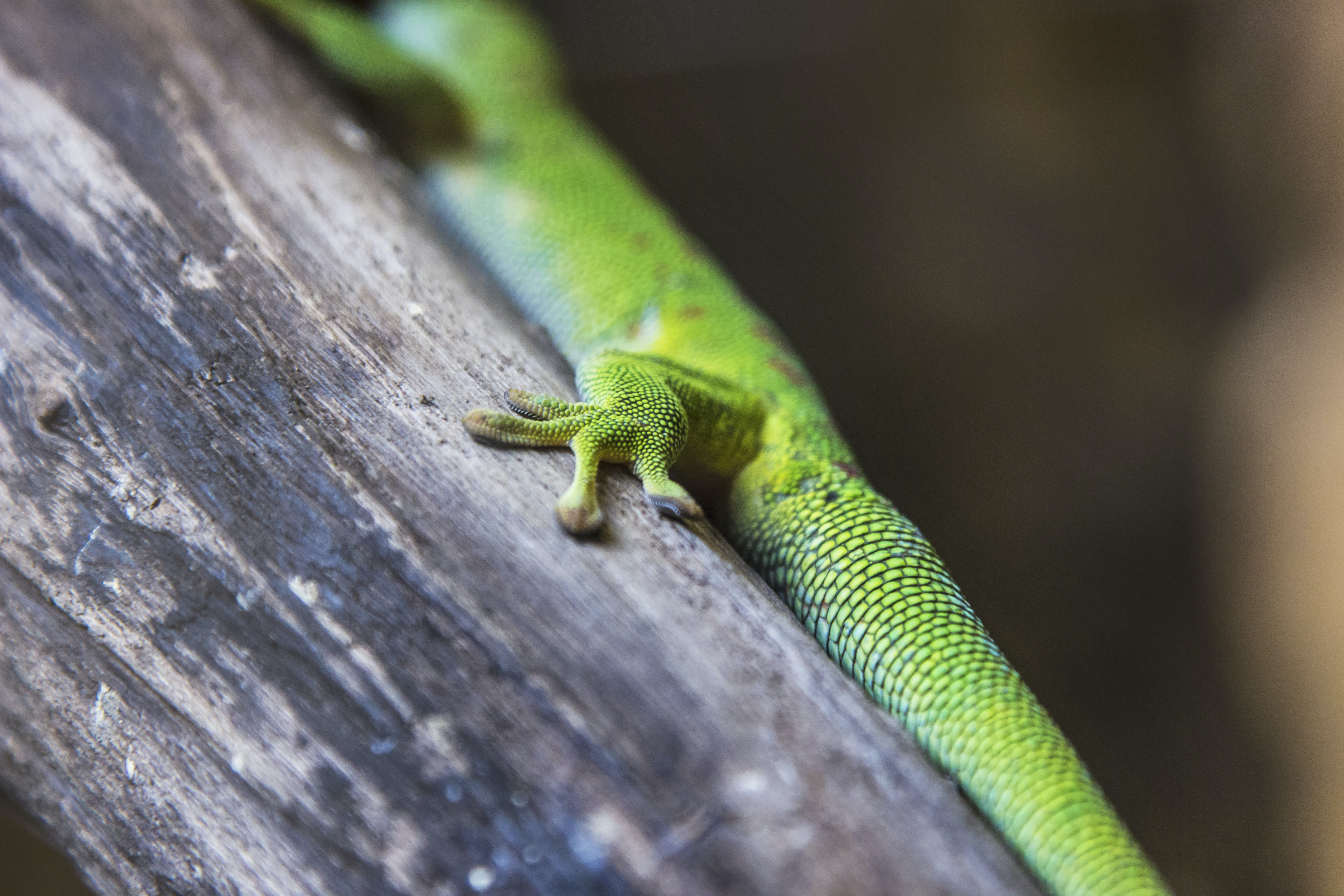 green gecko perched on wood