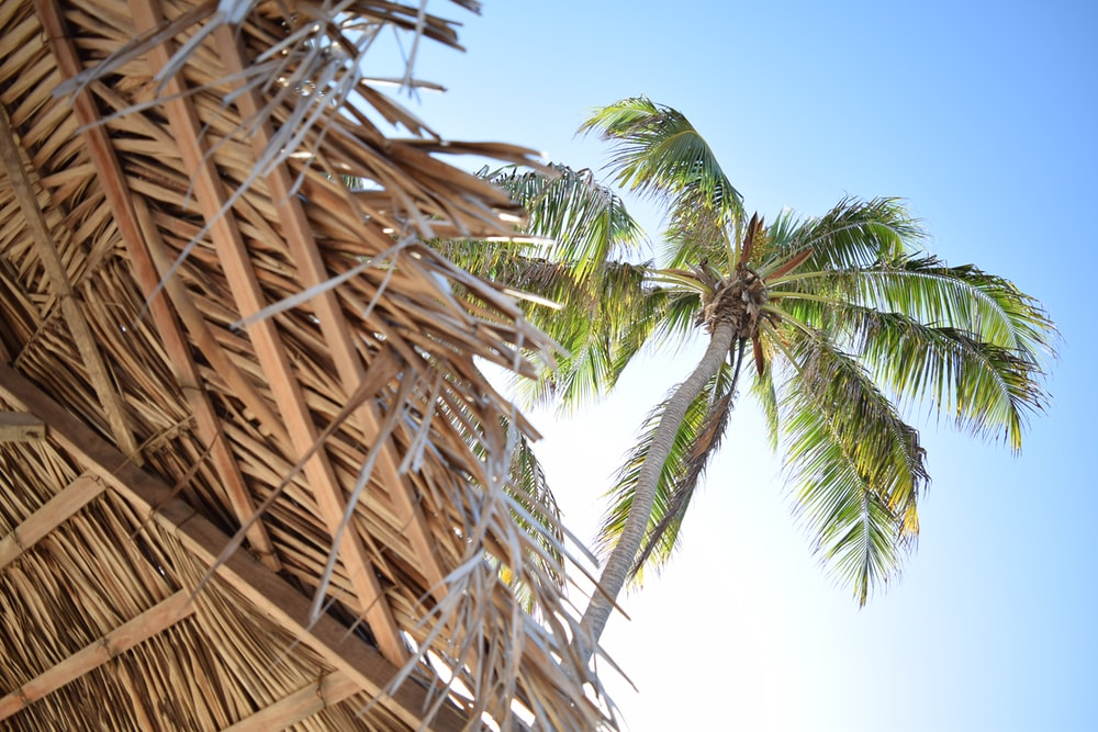 low angle photography green coconut tree at daytime