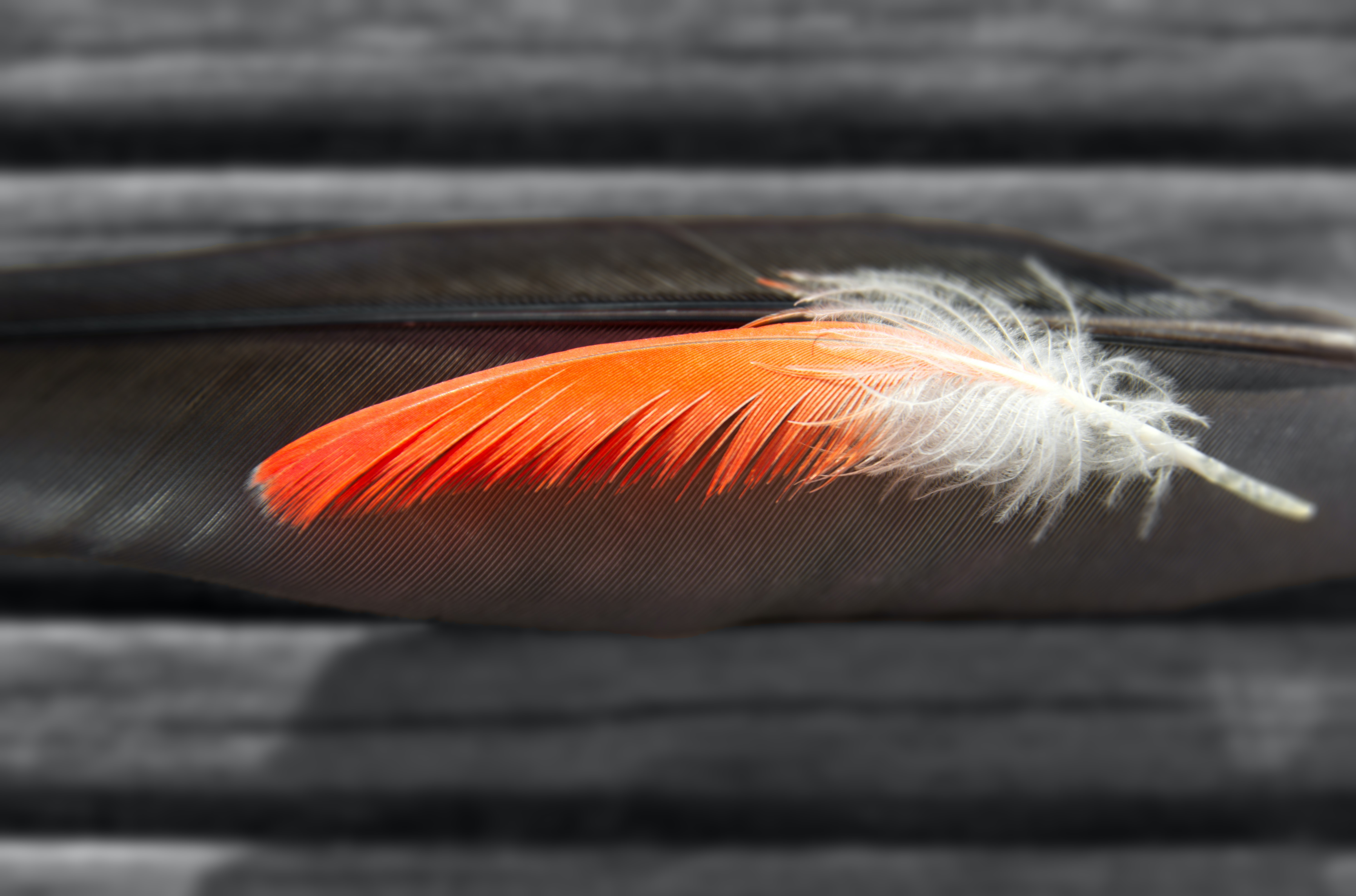 Colorful feather stacked on a black feather