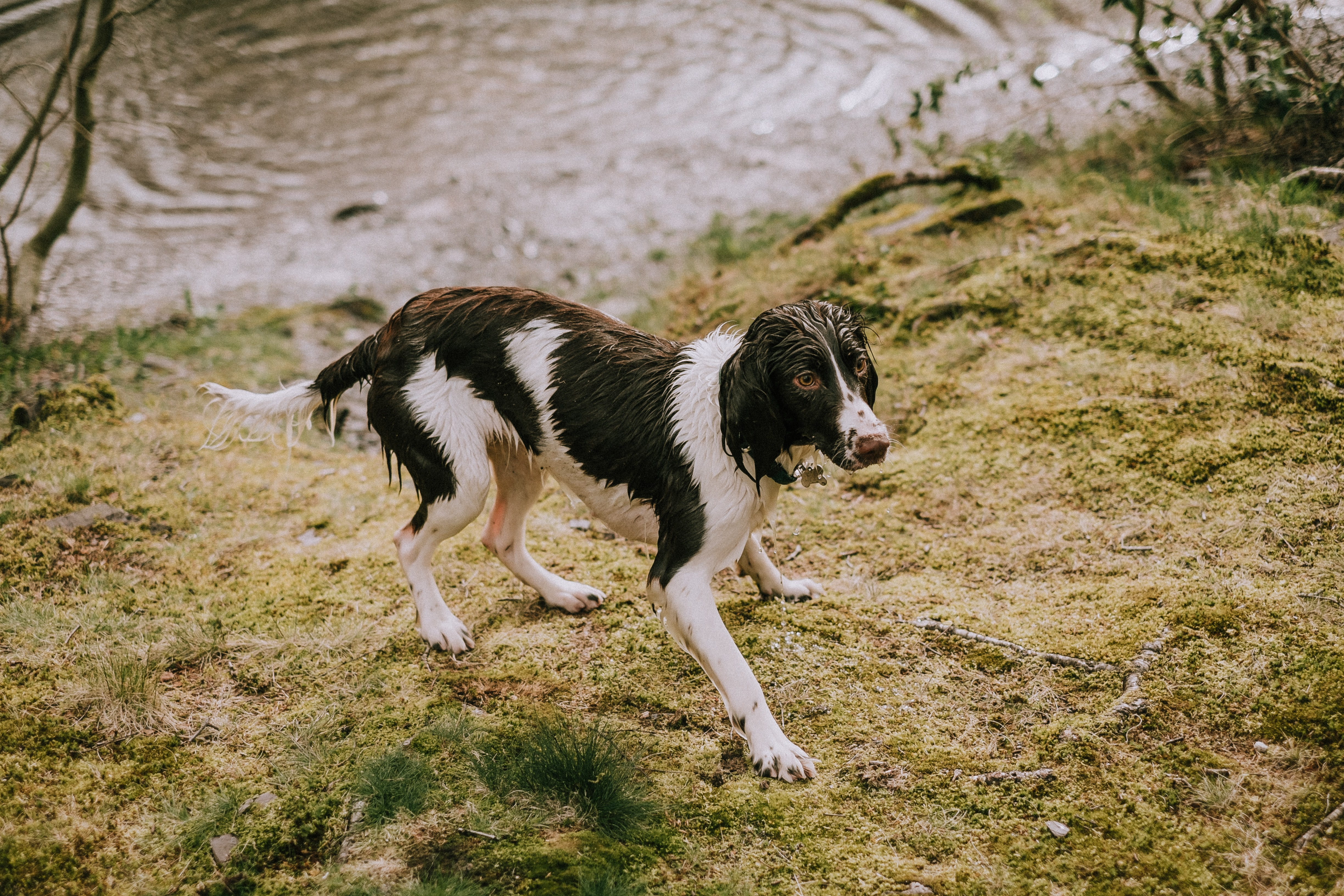 A black and white dog wet from emerging from a rippling pond