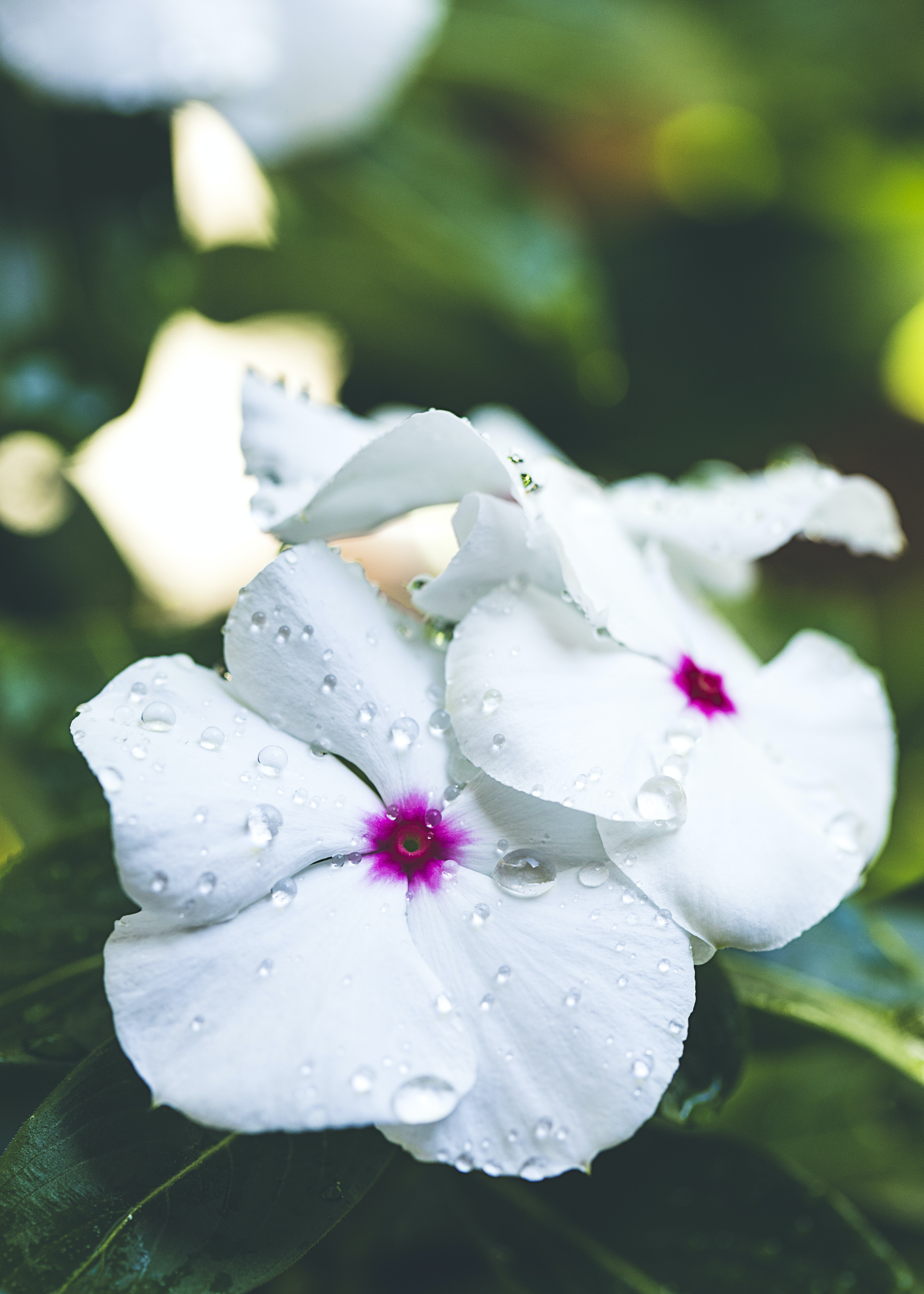 White flowers with pink details wet with drops of dew