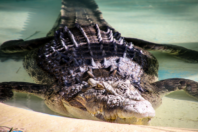 grey crocodile in body of water