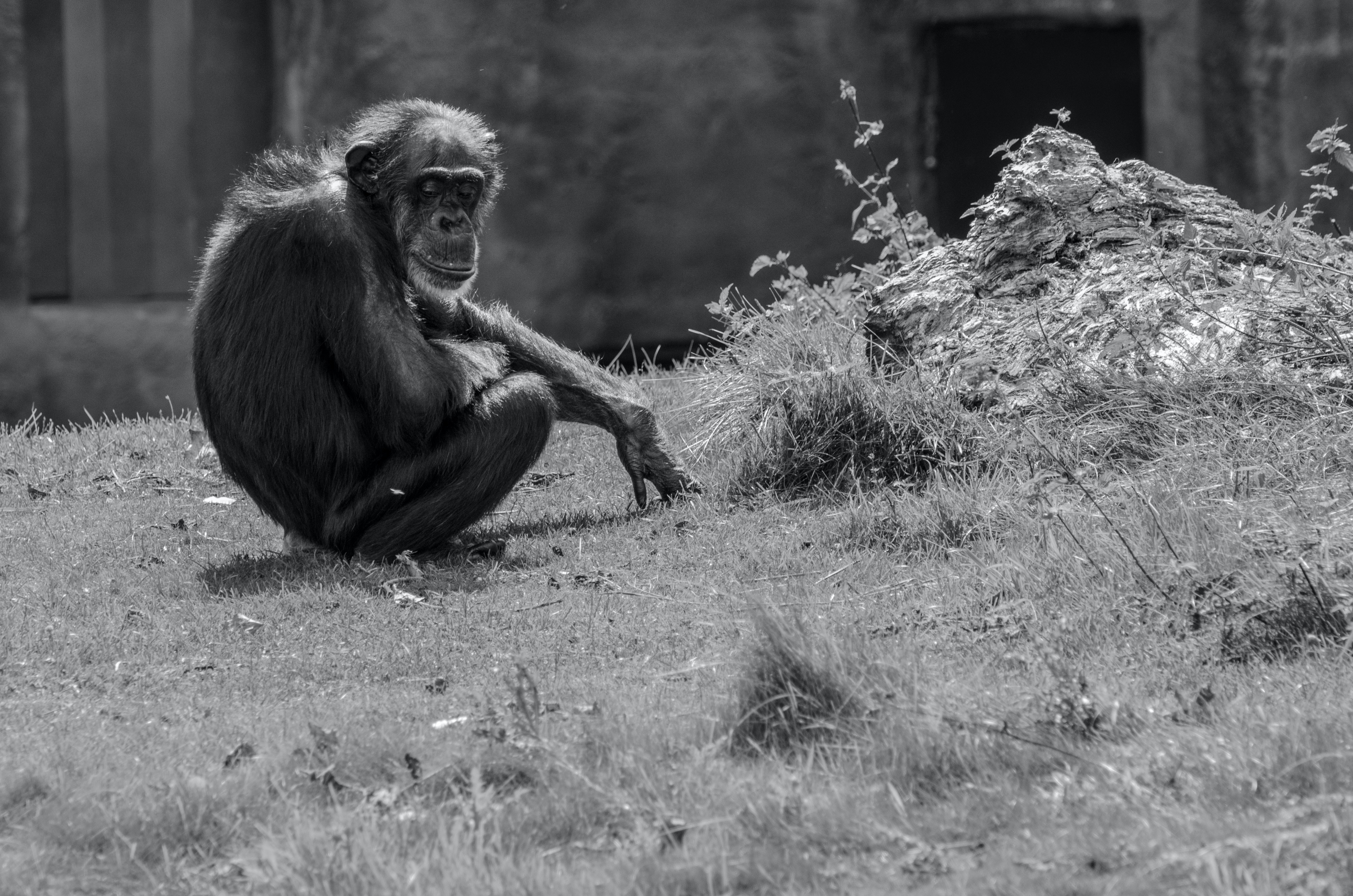 grayscale photography of monkey sitting on grass