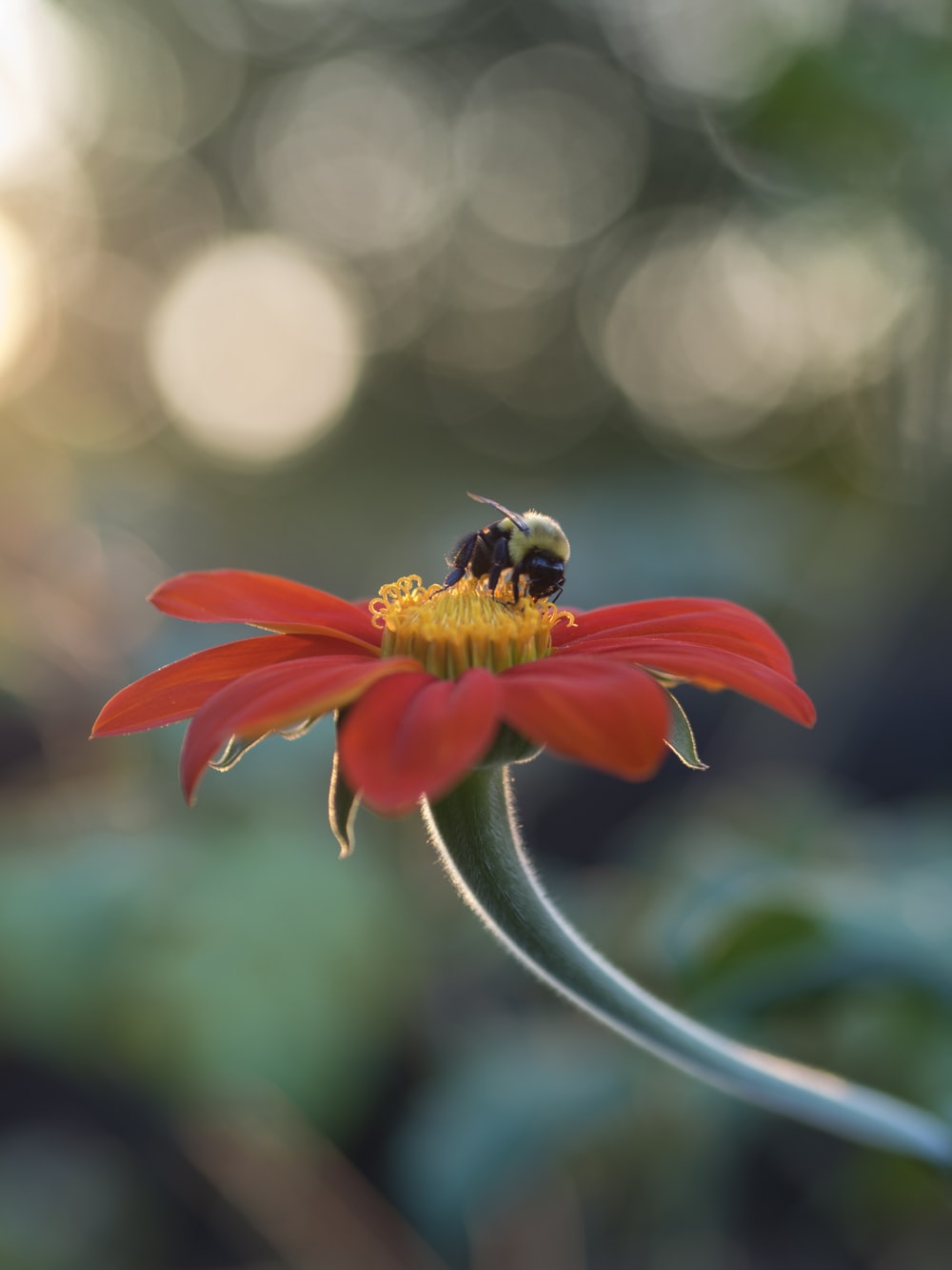selective focus photography of bee on top of red petaled flower