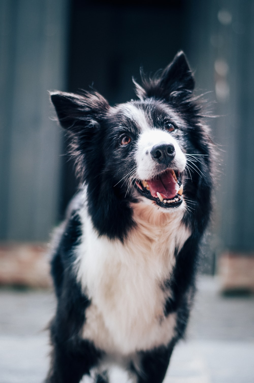 long-coated black and white dog during daytime