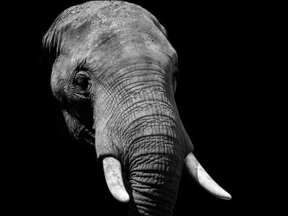 900 Elephant Images Download Hd Pictures Photos On Unsplash