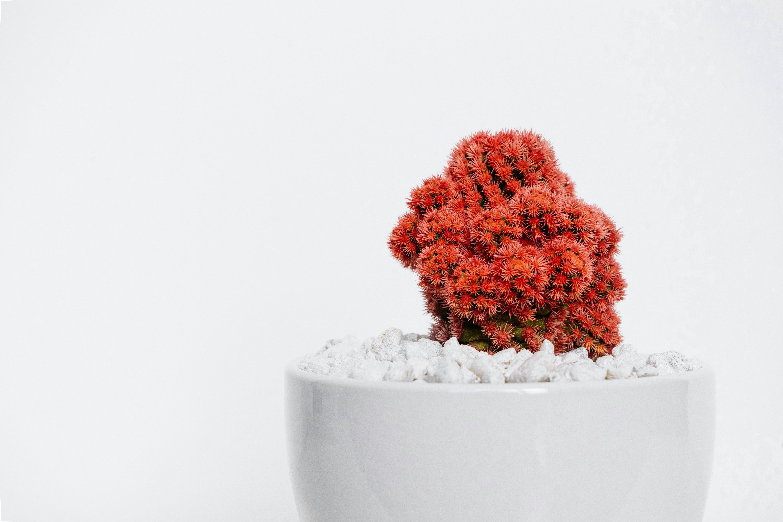 red cactus plant on white vase