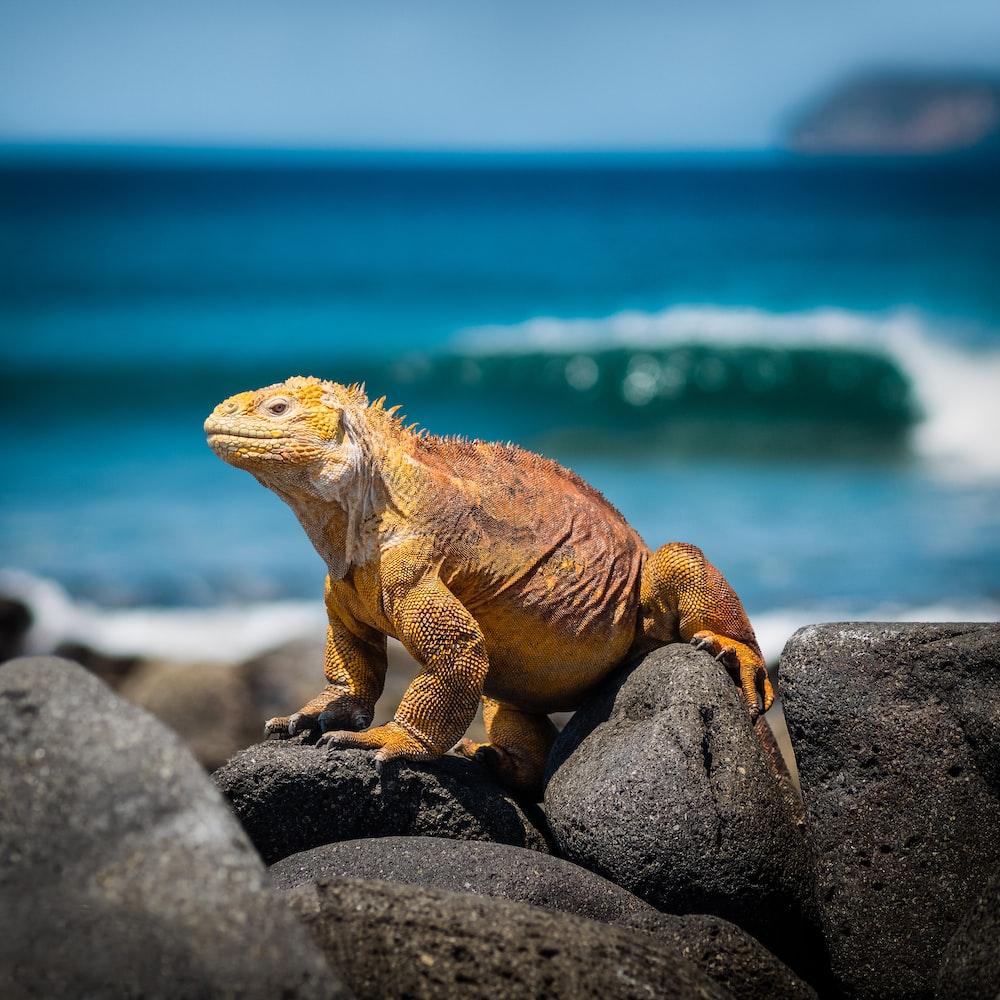 yellow iguana on rocks during daytime