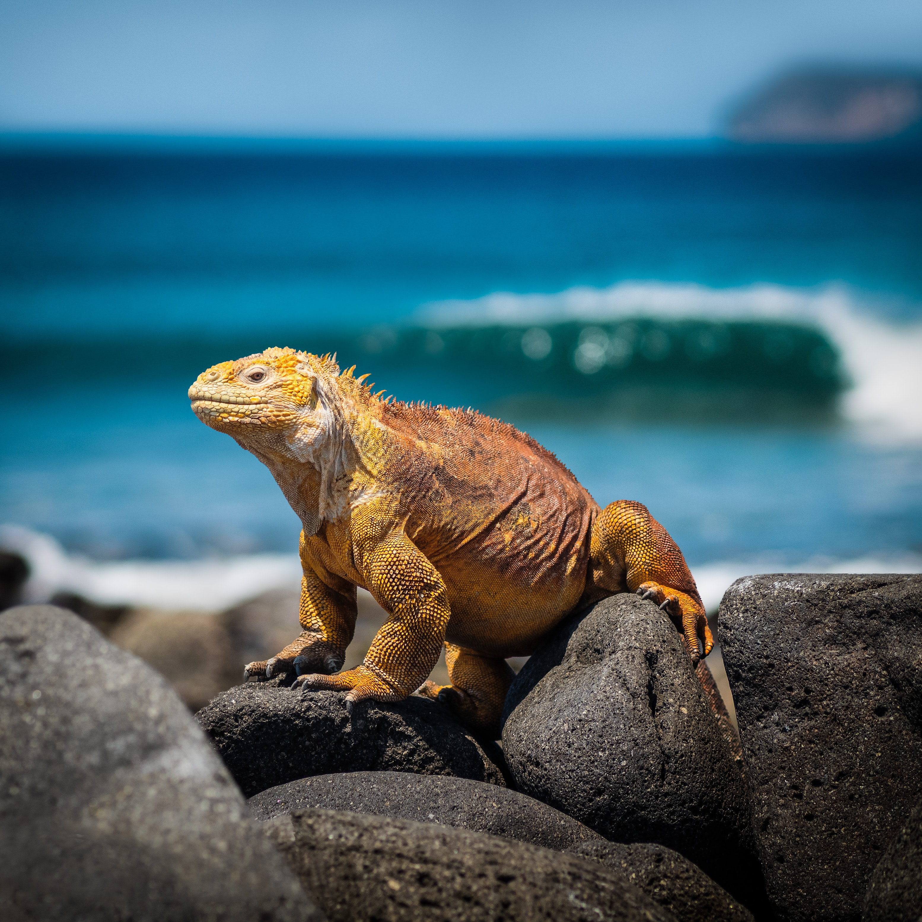 A large orange lizard balances between two rocks by the Provinz Galapagos in Ecuador, overlooking the sea