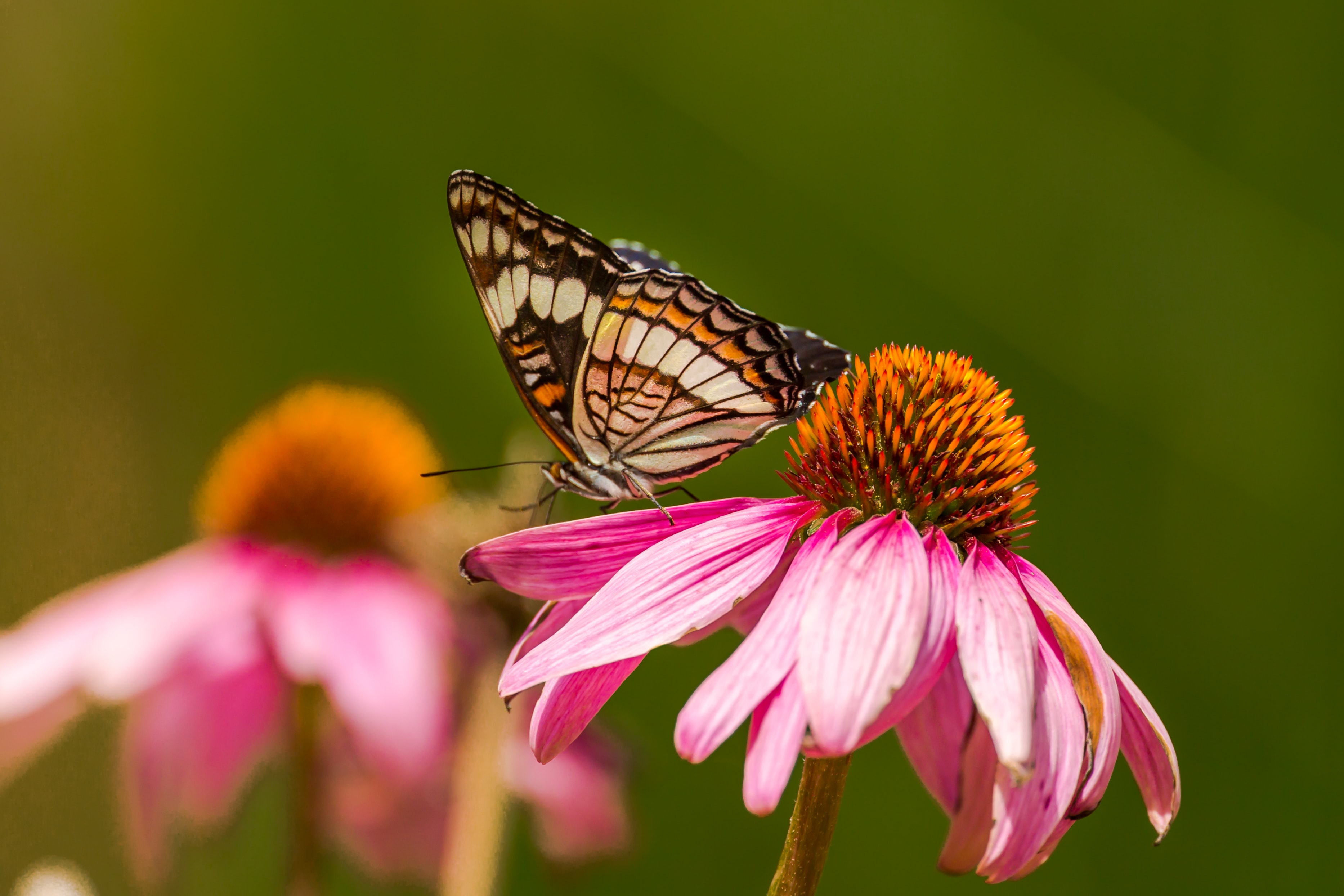 Butterfly lands on a pink flower