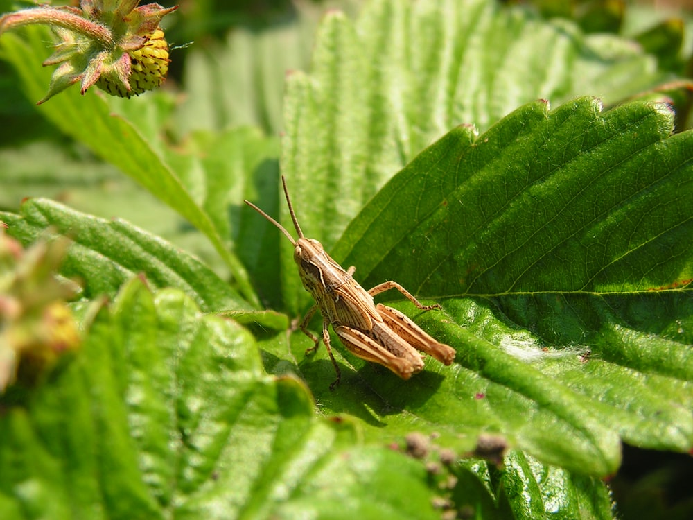 brown grasshopper perched on leaf during day