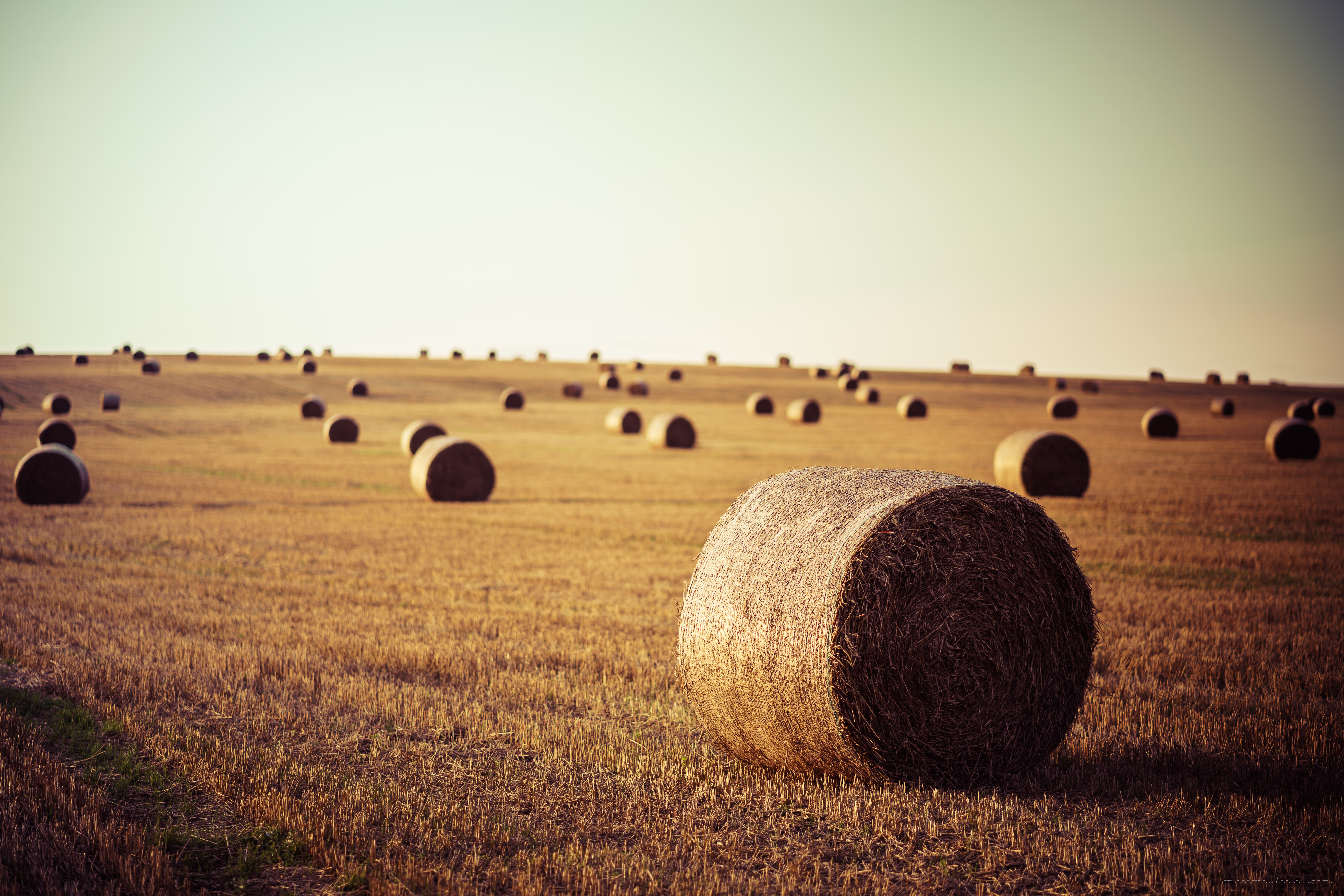 Bales of hay rolled in an open farm field