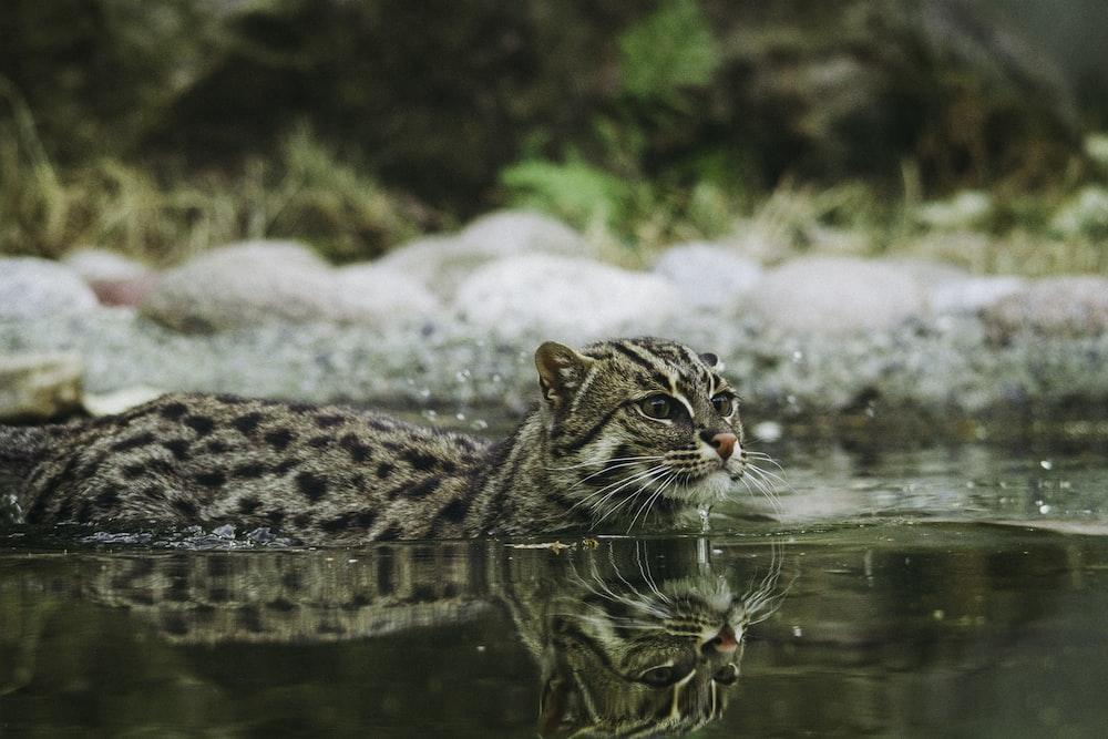 wild cat swimming in body of water