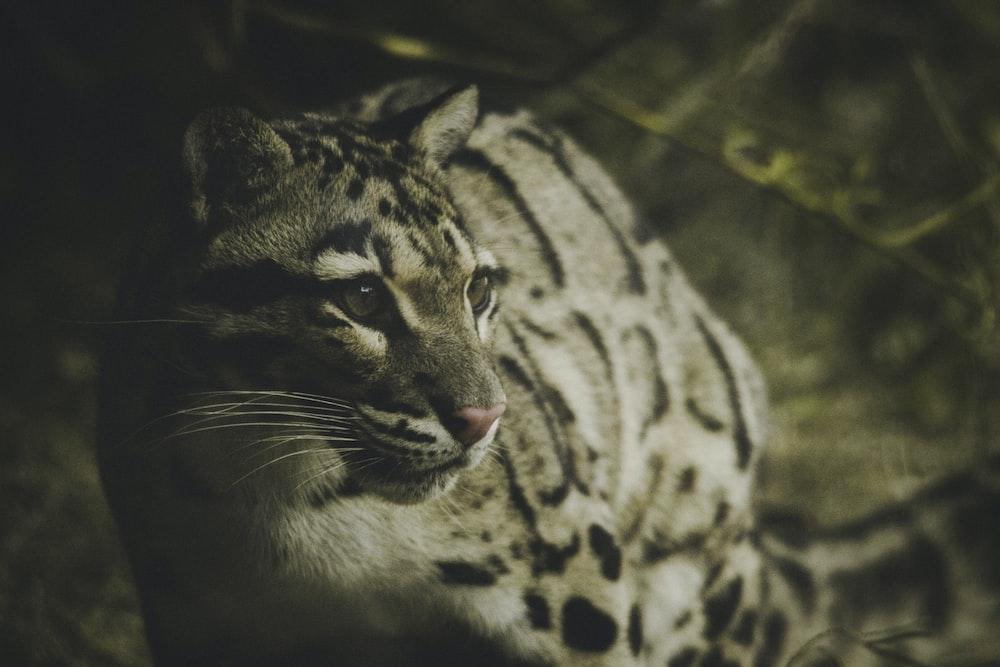 jaguar on leafy surrounding