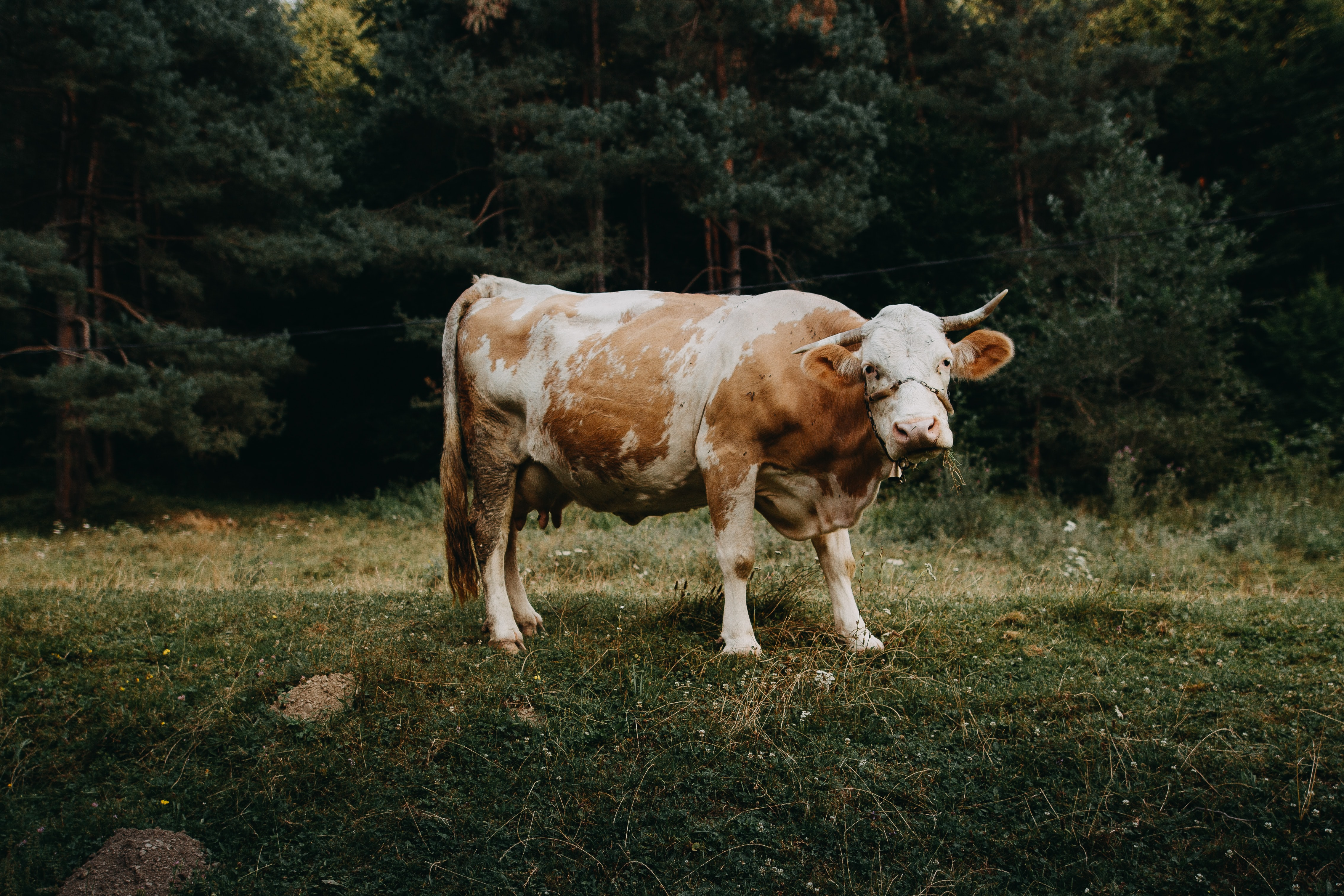 A brown and white cow with a chained mouth and a bell around its neck beside a dark forest