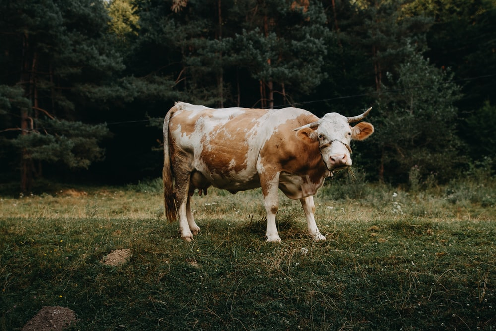 white and brown cow on field