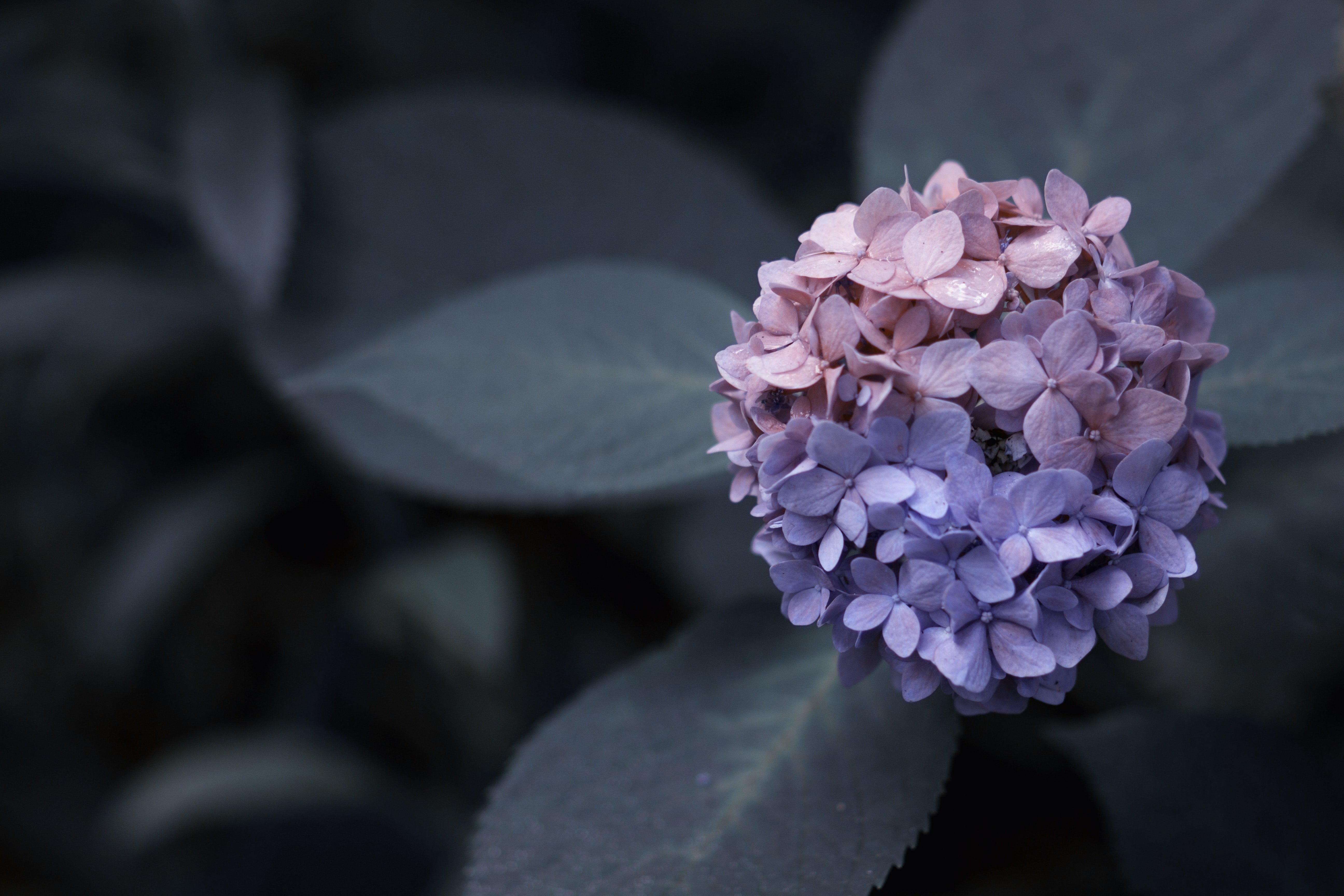 macro photography of a pink and purple flower