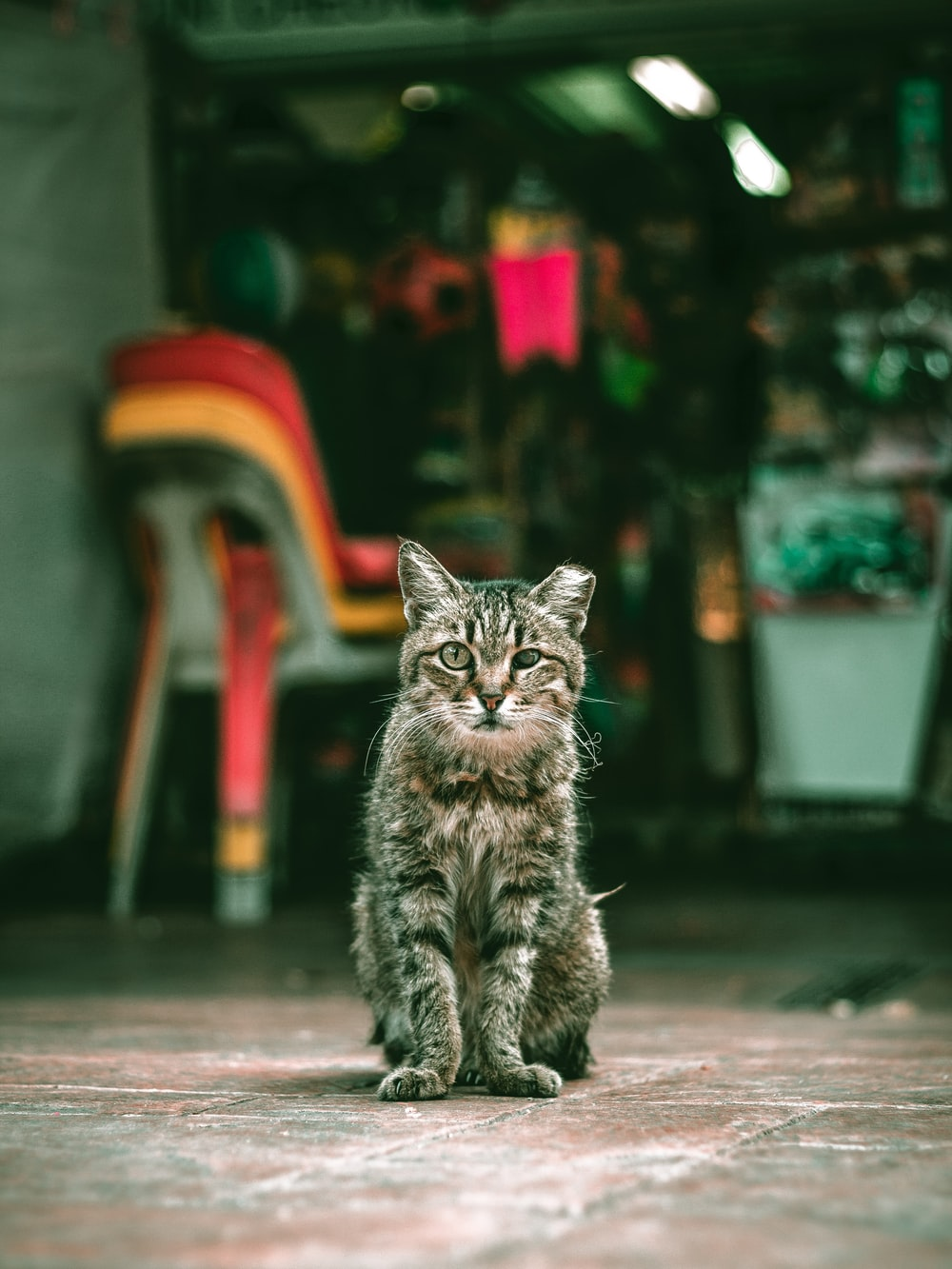 brown tabby cat sitting near chairs