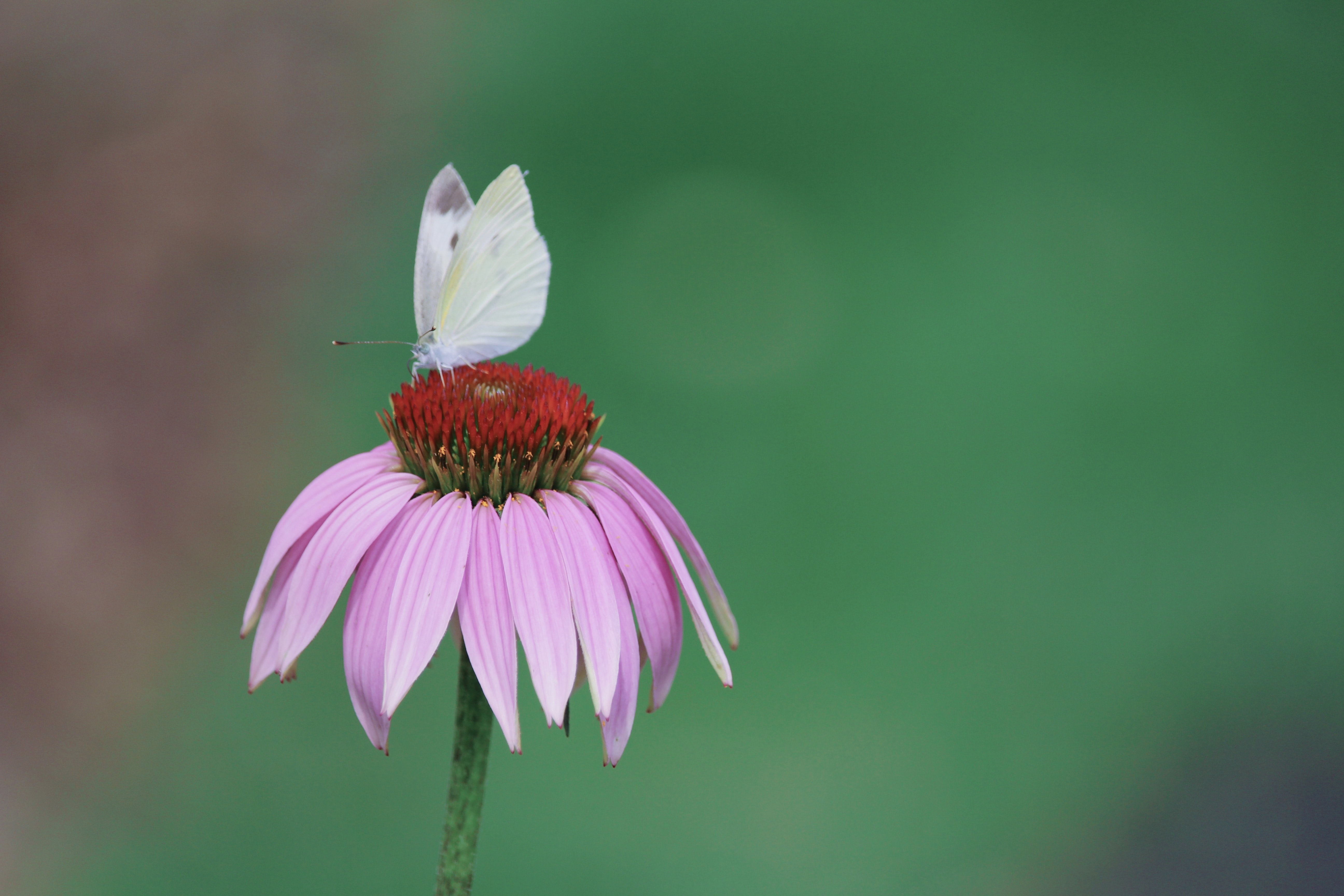A butterfly on a red flower with pink petals.