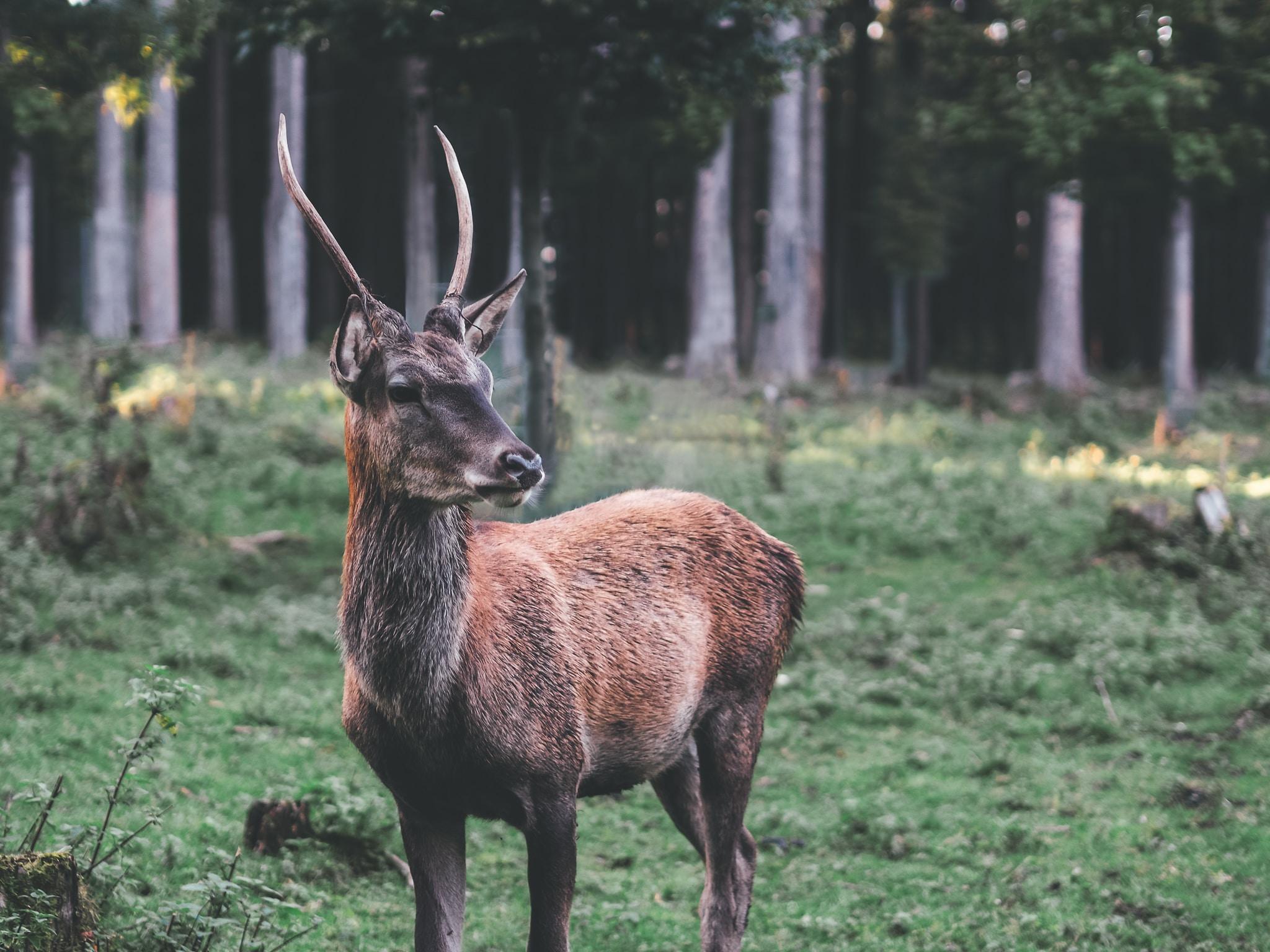 brown deer standing on field