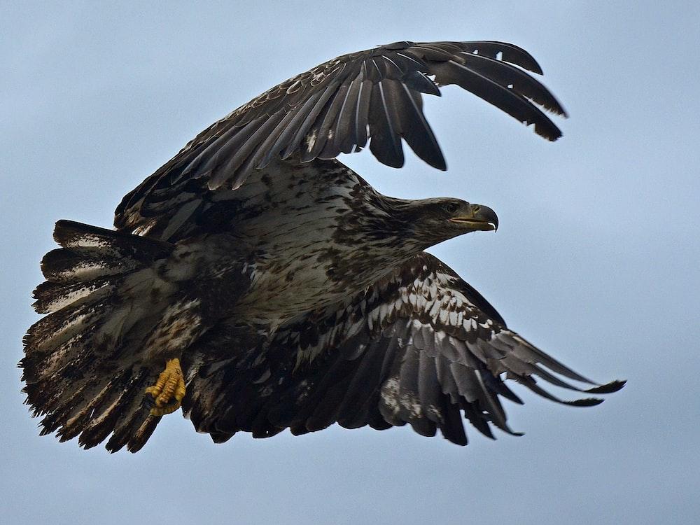 eagle flying under blue sky