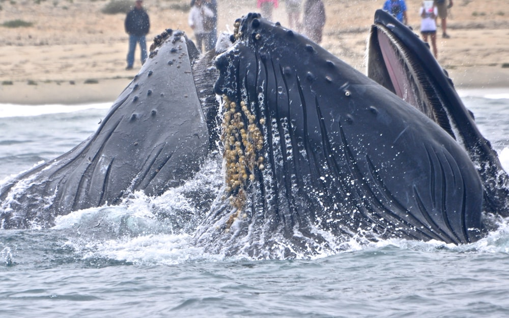 photograph of two sperm whales