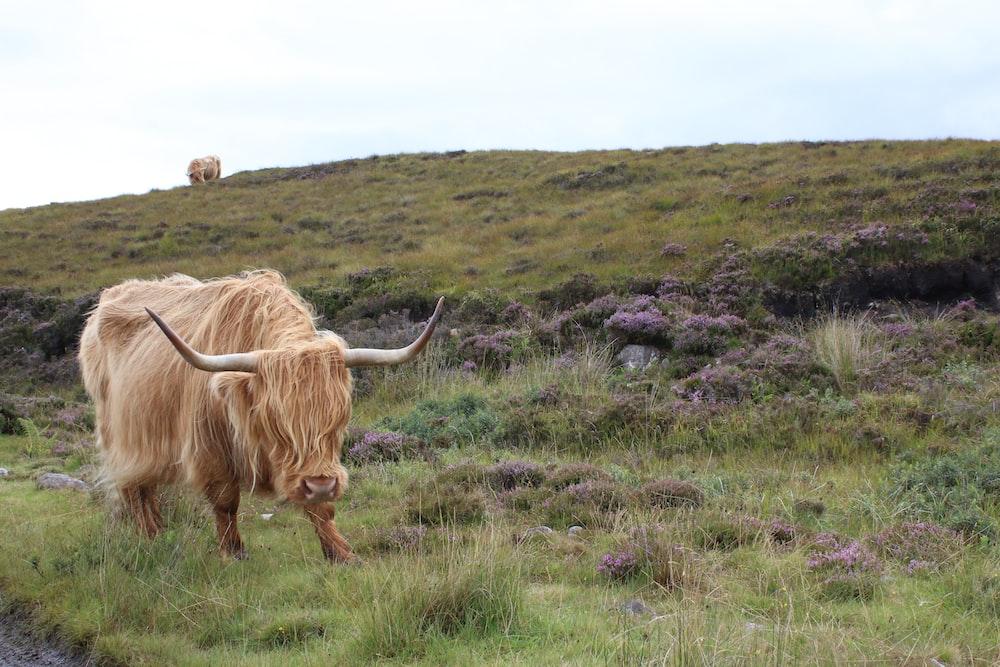 brown ox on grass field