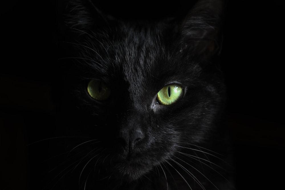 macro photography of black cat