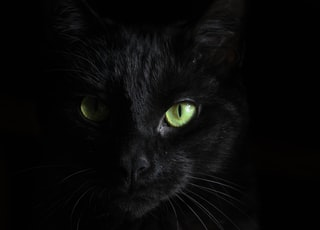 macro photography of black cat