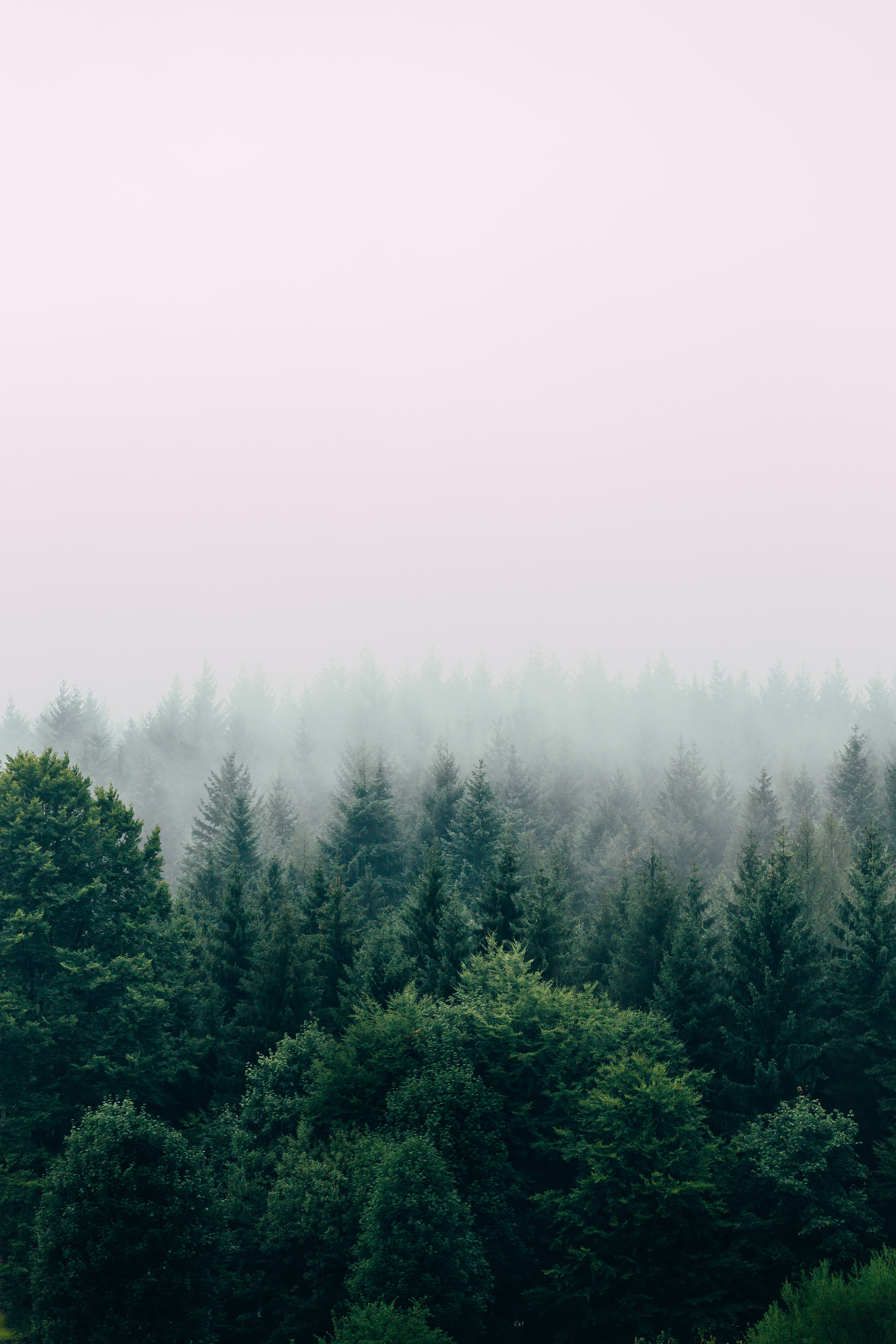 Tree tops in a fog covered forest.