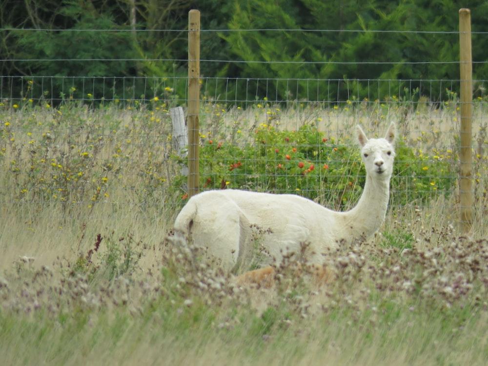 white llama on grass field