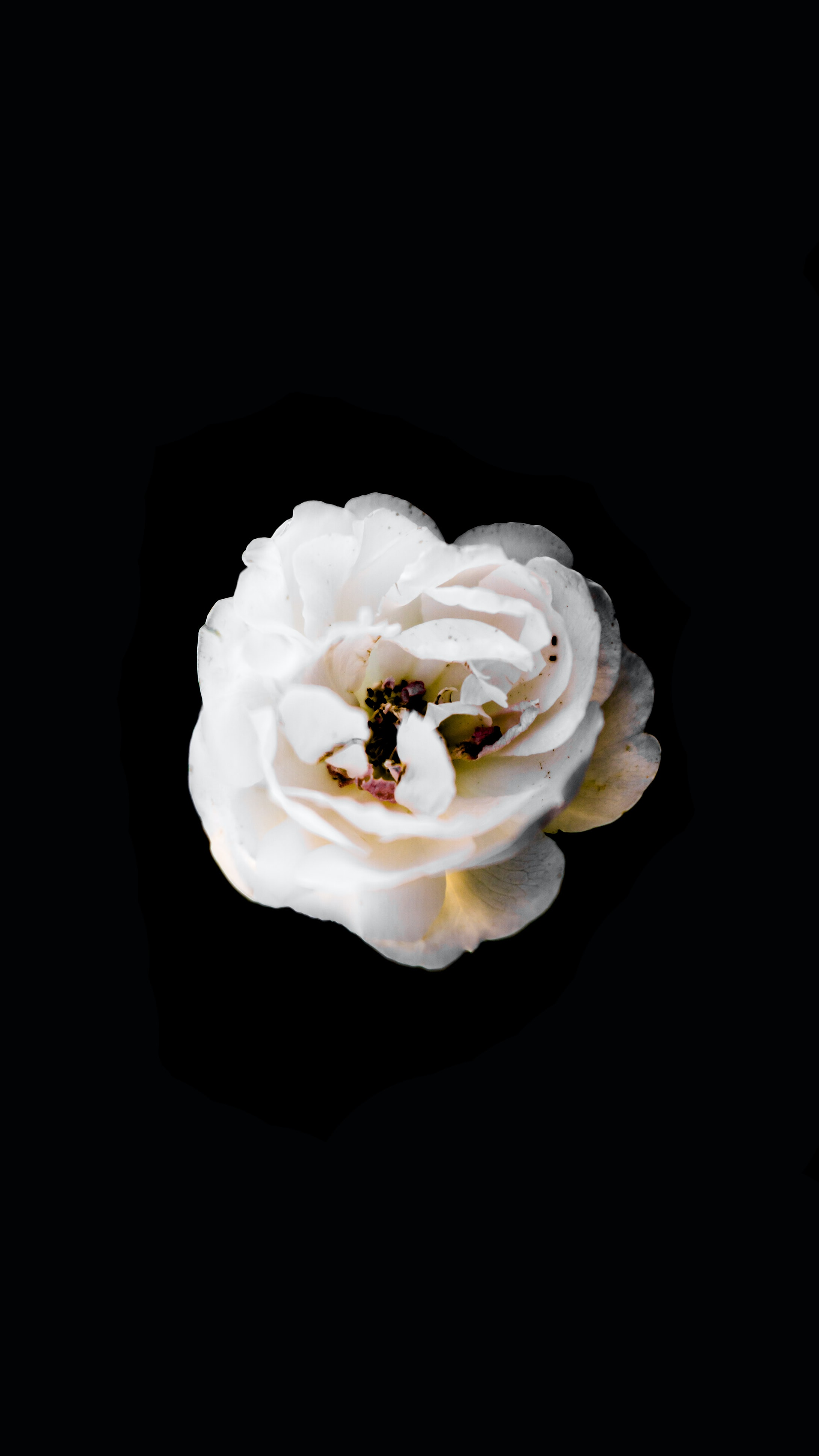 An above view of the petals on a white flower with a dark background.