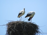 two black-and-white birds on nest