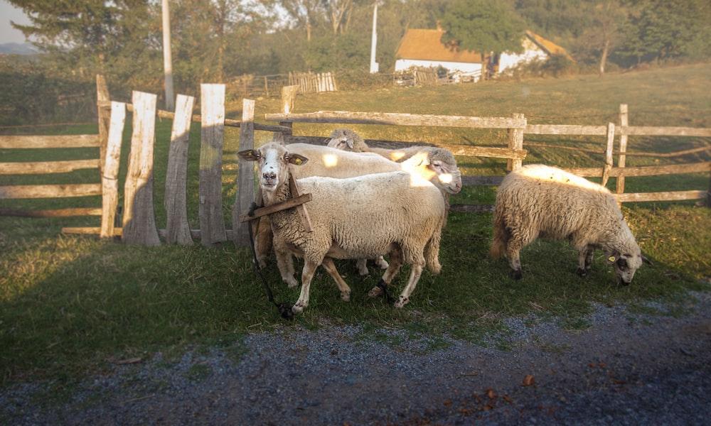three white sheep