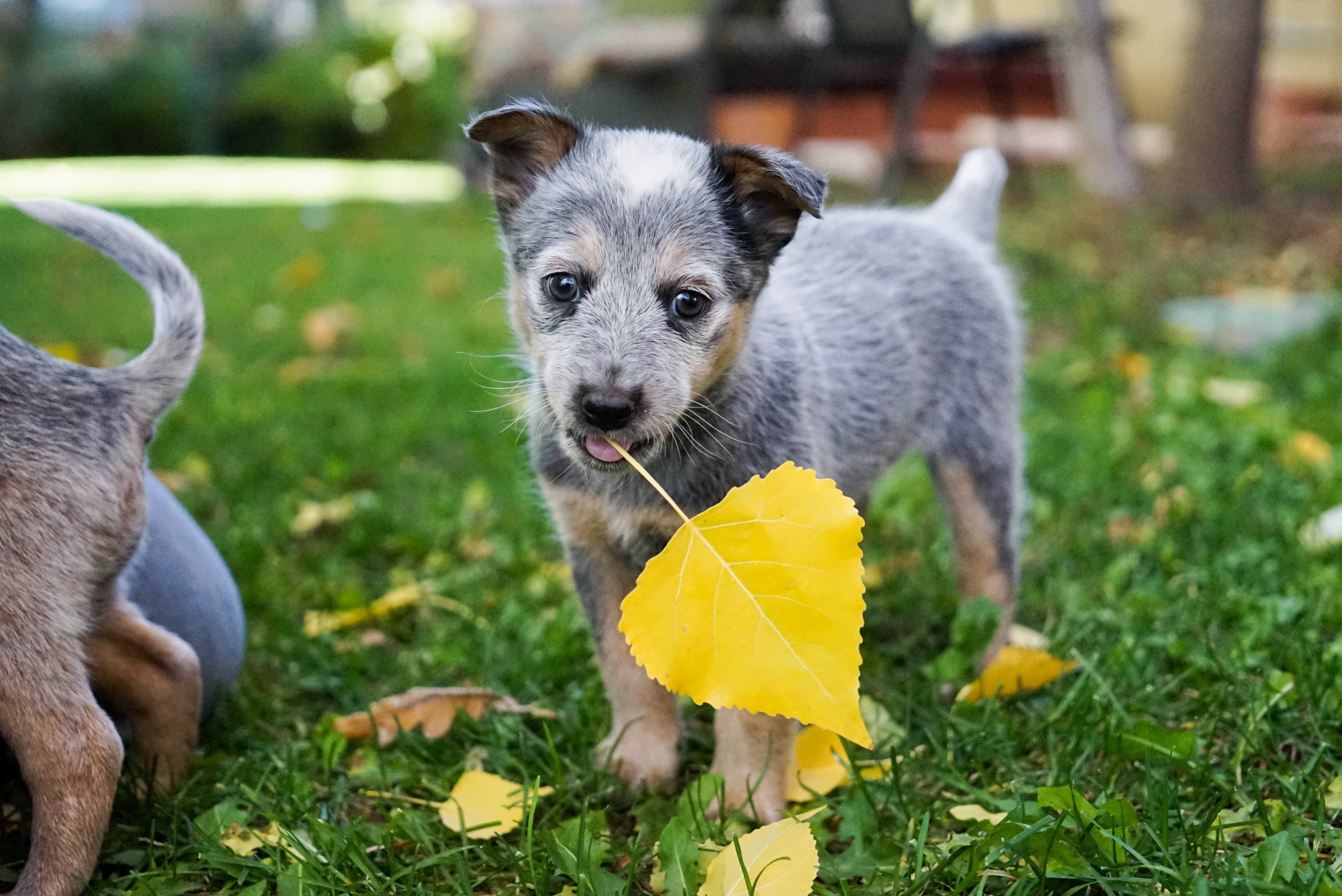 short-coated gray puppy standing on yellow leaf