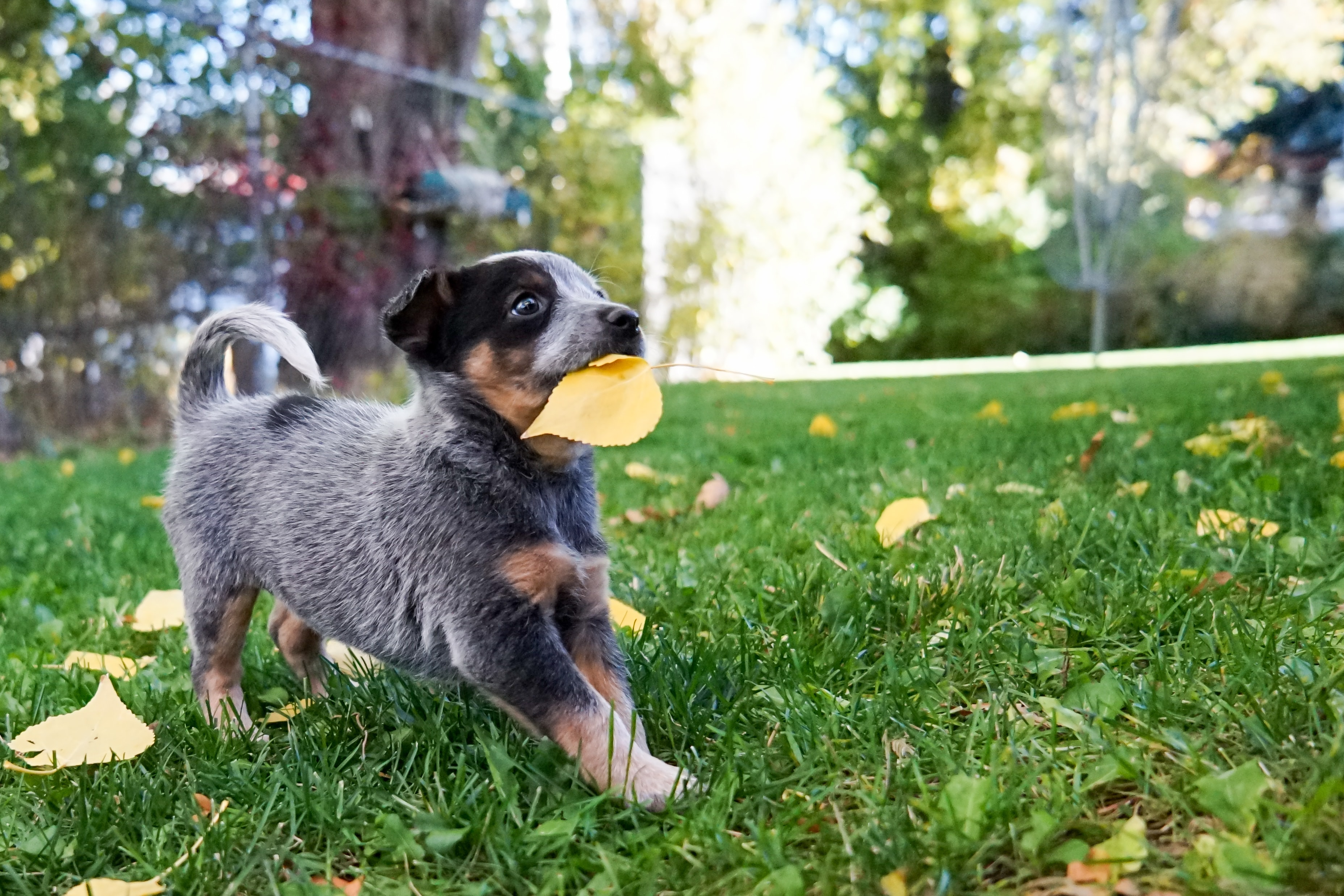 Adorable puppy plays with a leaf in the grass