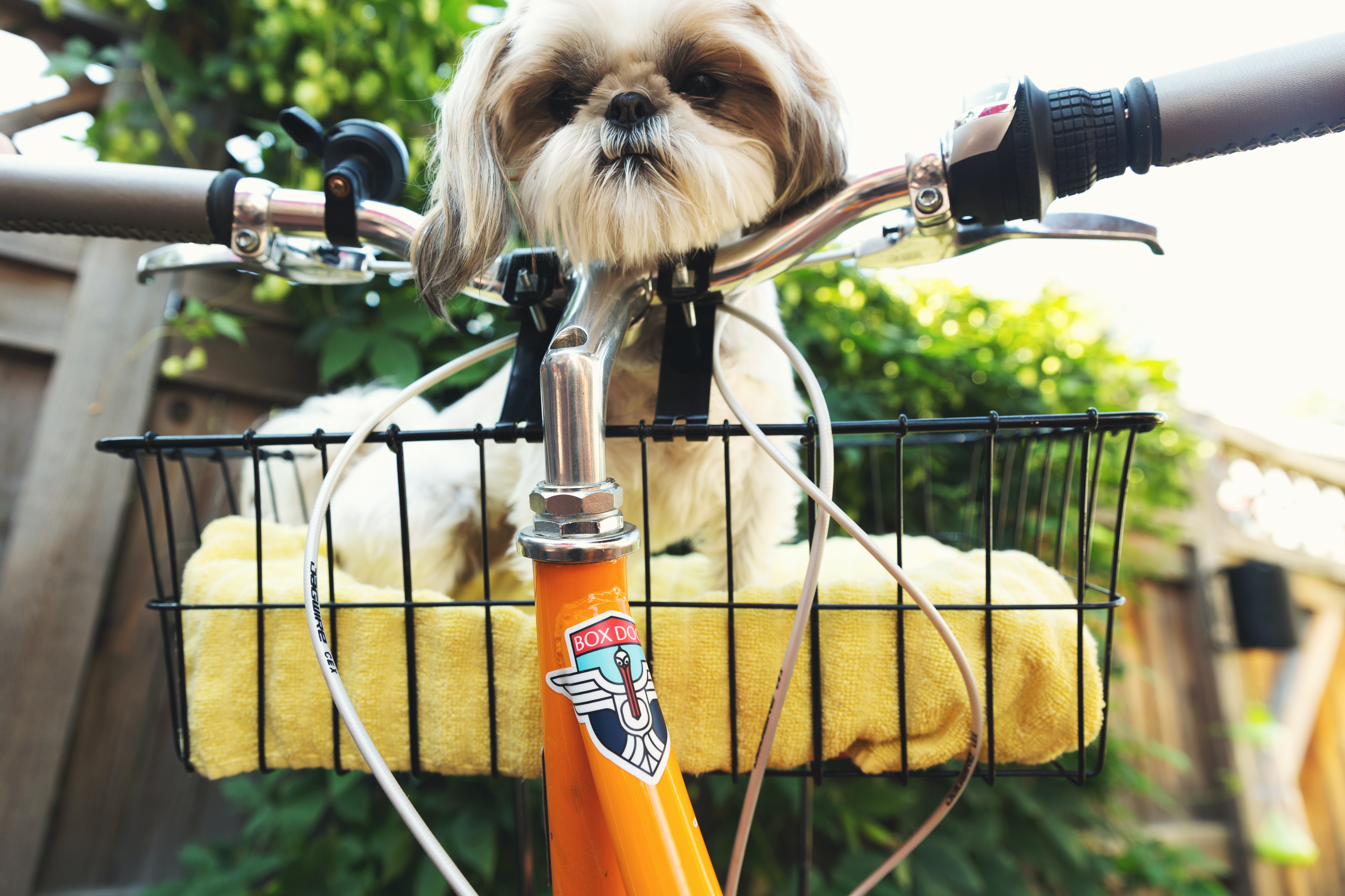brown and white dog on bicycle basket